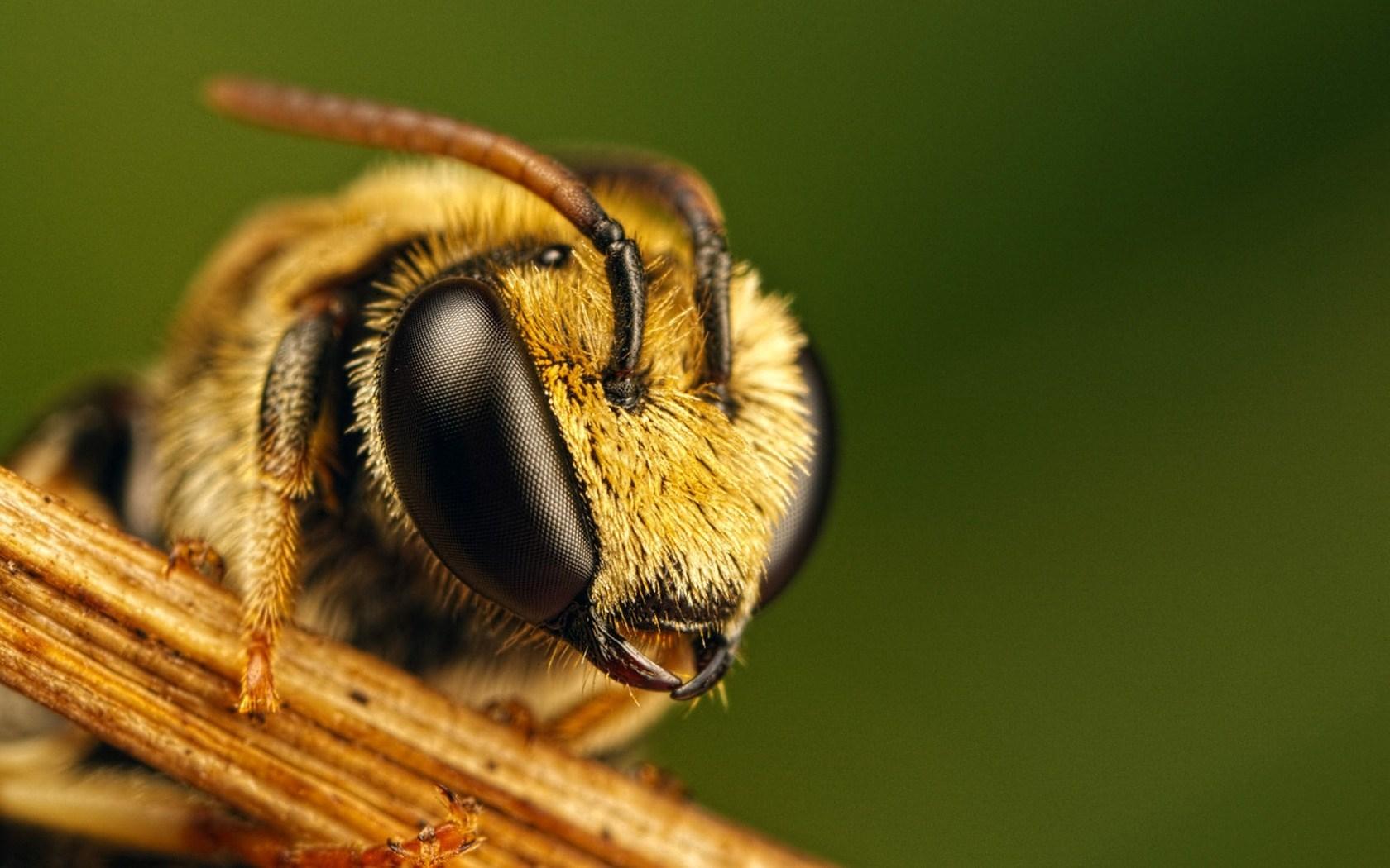 Bee Eyes Close-Up HD Wallpaper