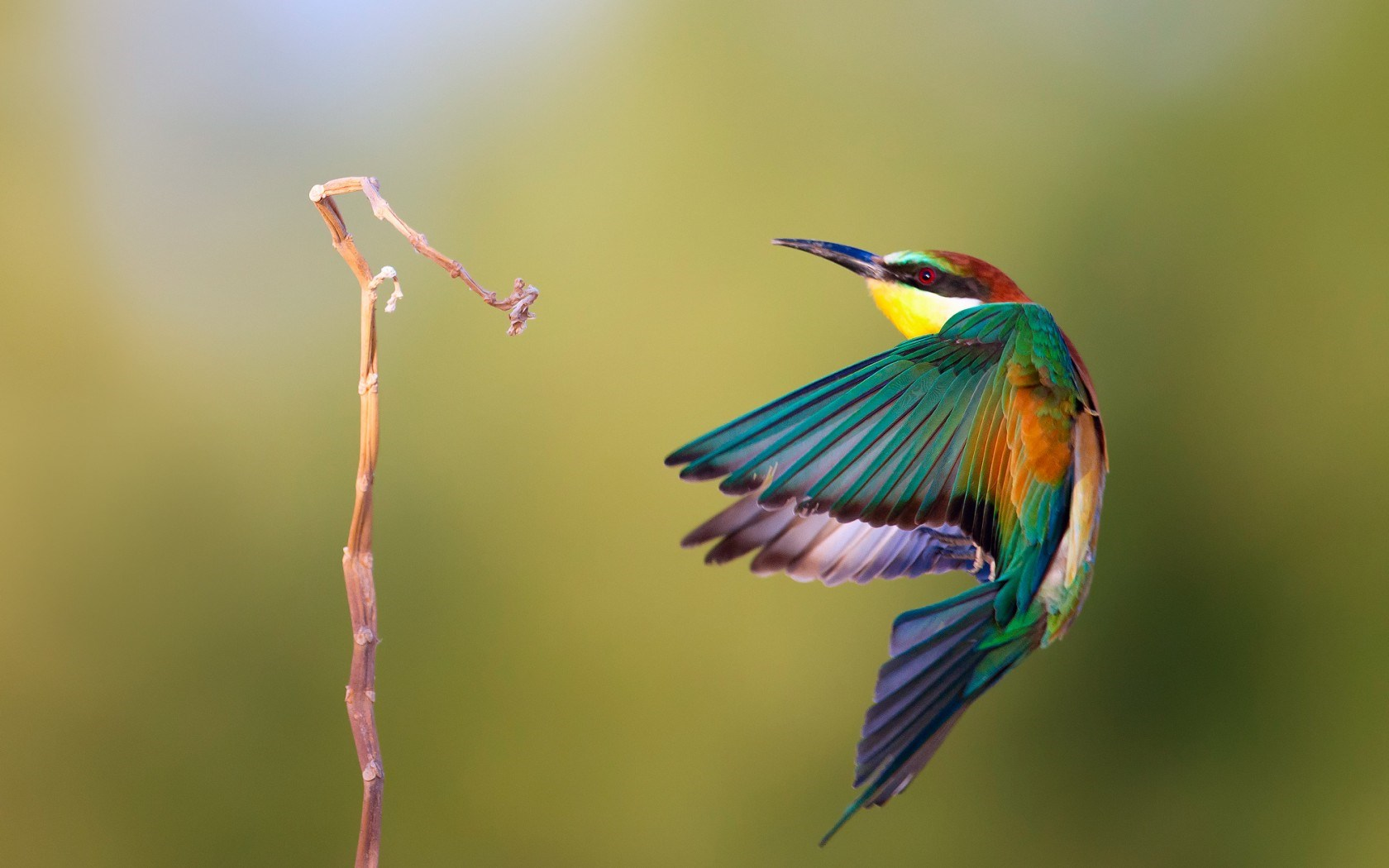 Bee-Eater Bird Branch
