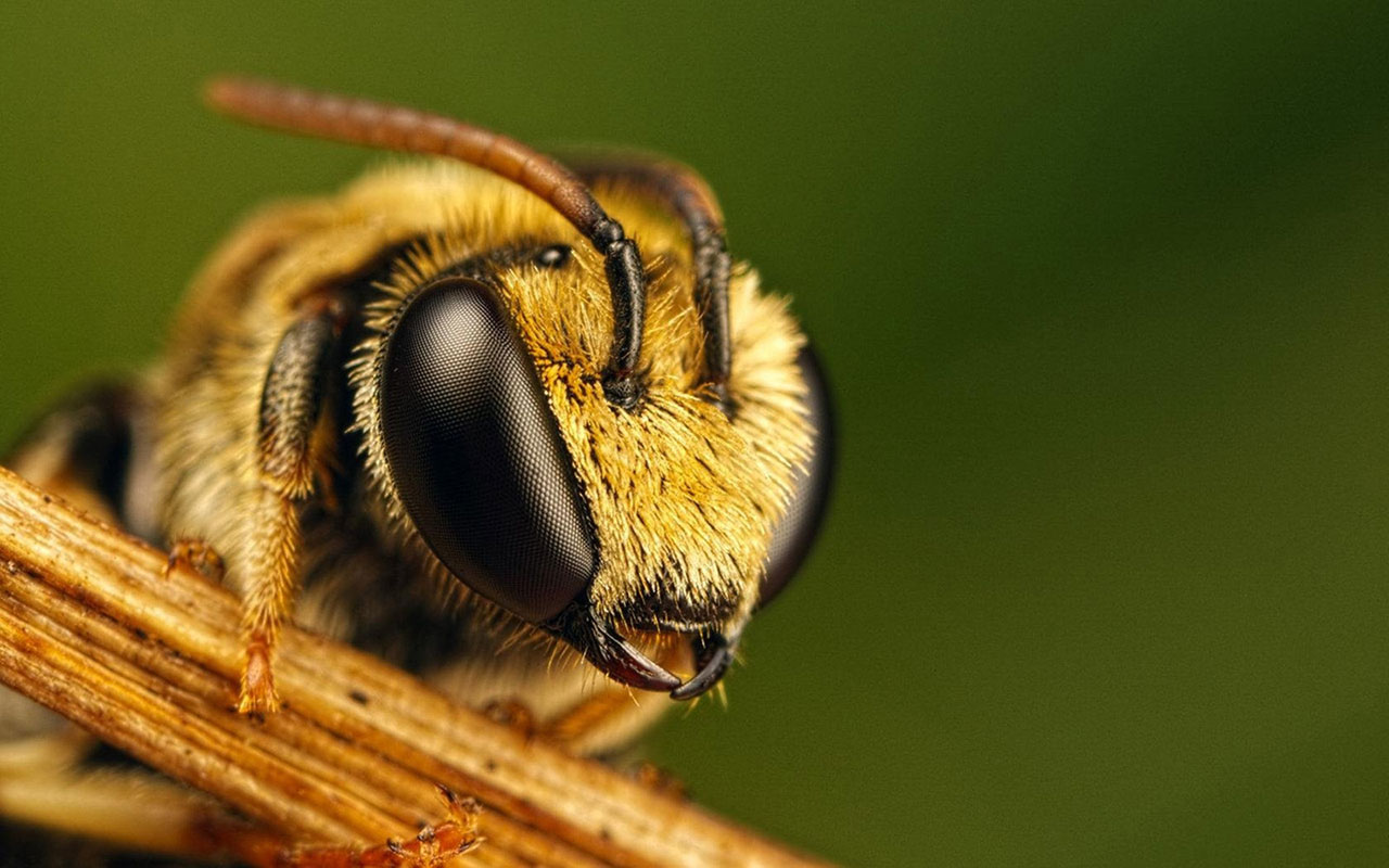 Bee HD Wallpapers