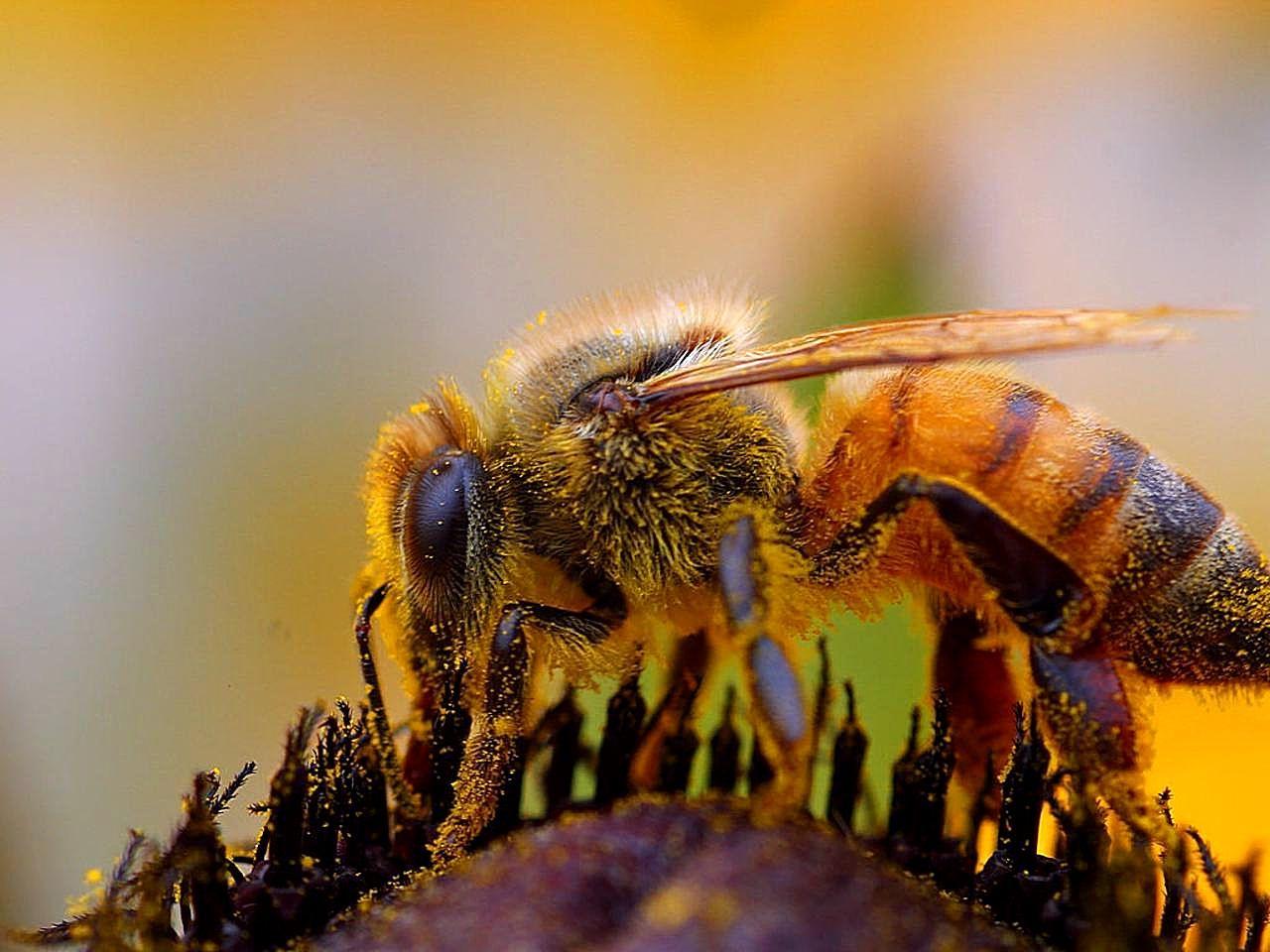 Bee Insect Macro