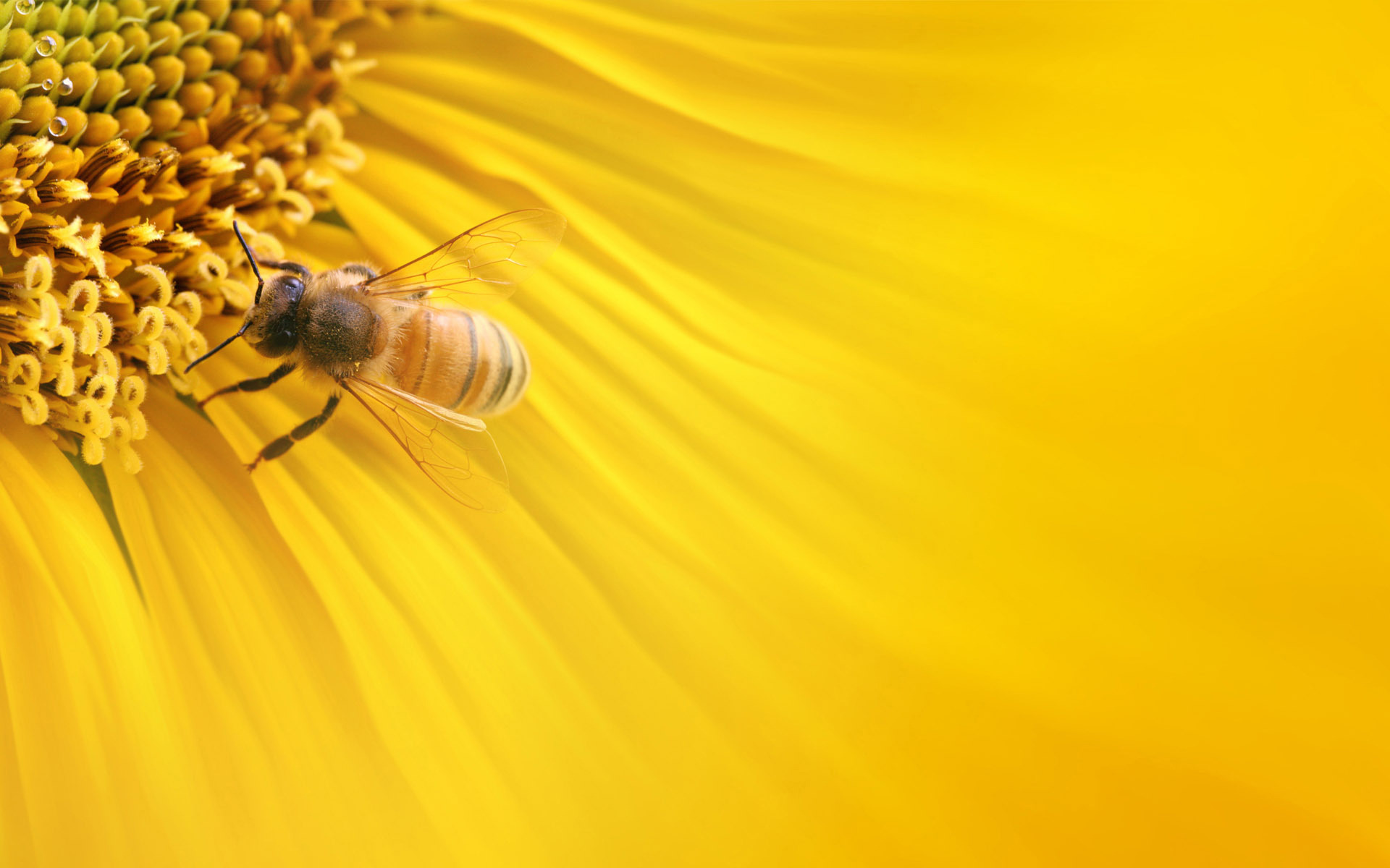 Bee Wallpaper HD