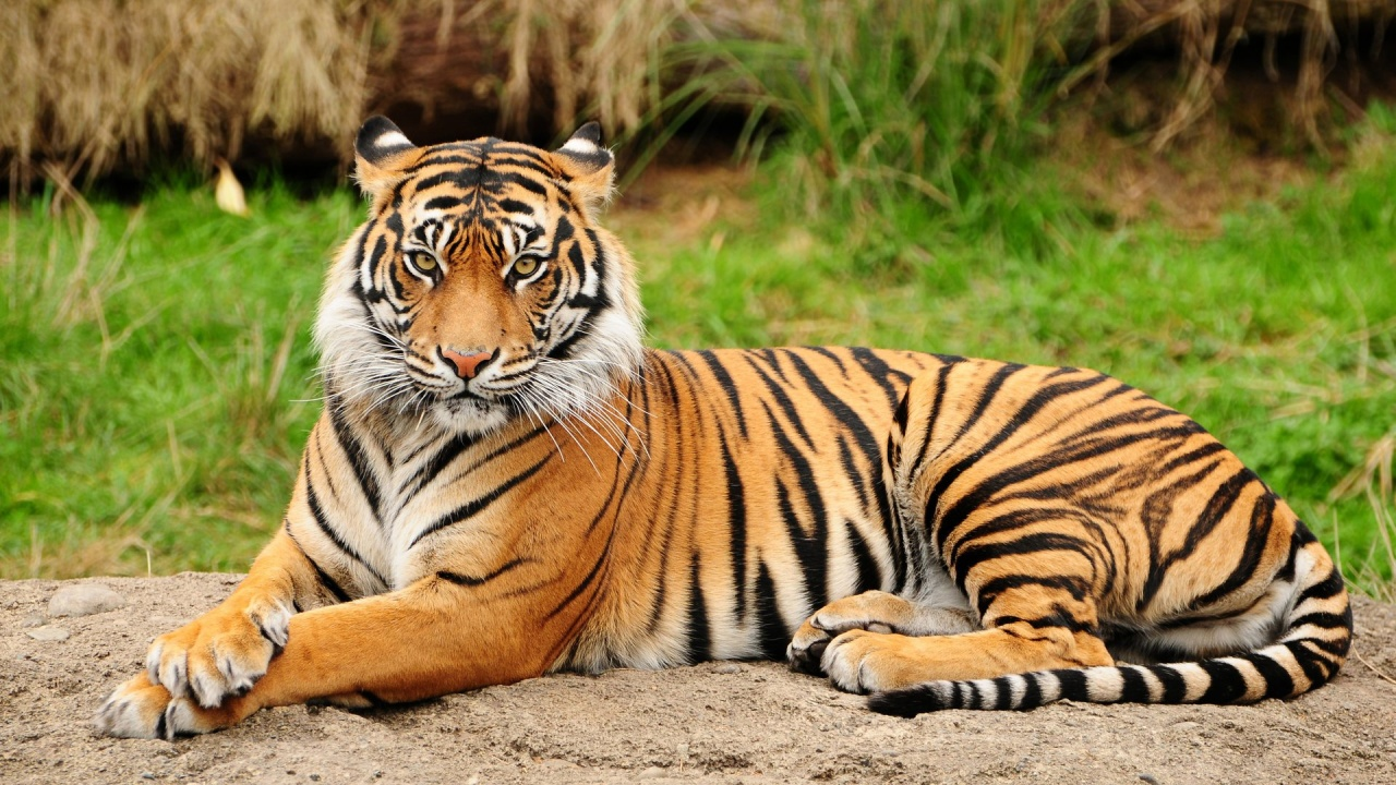 Bengal Tigers Information :
