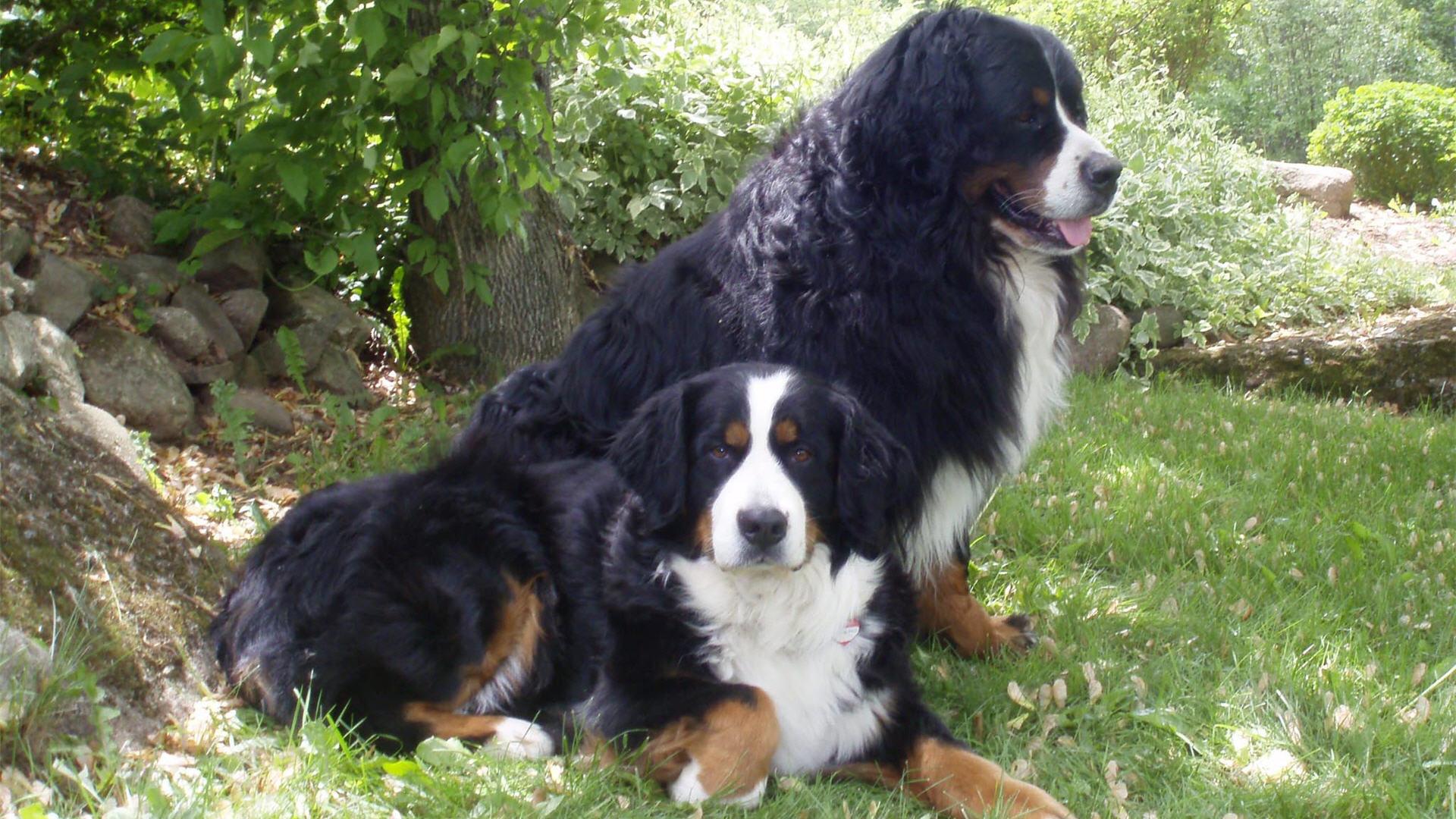 1920x1080 Animal Bernese Mountain Dog
