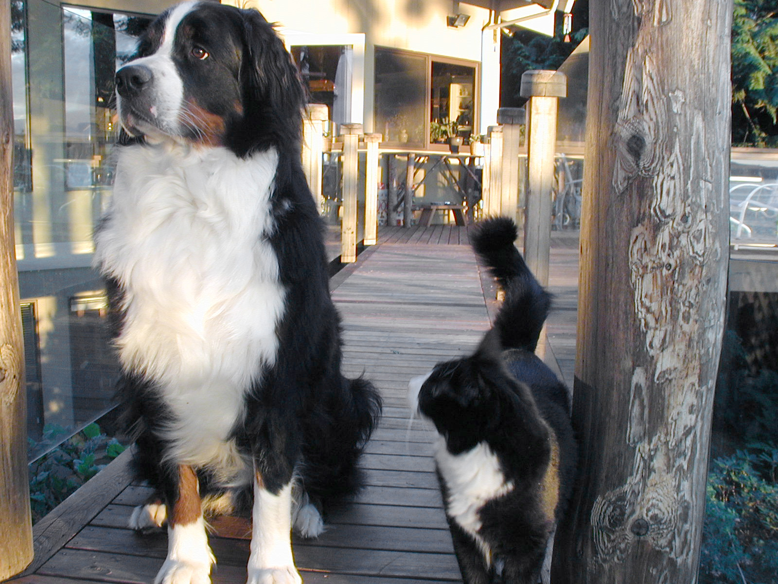 Bernese Mountain Dogs and Cats