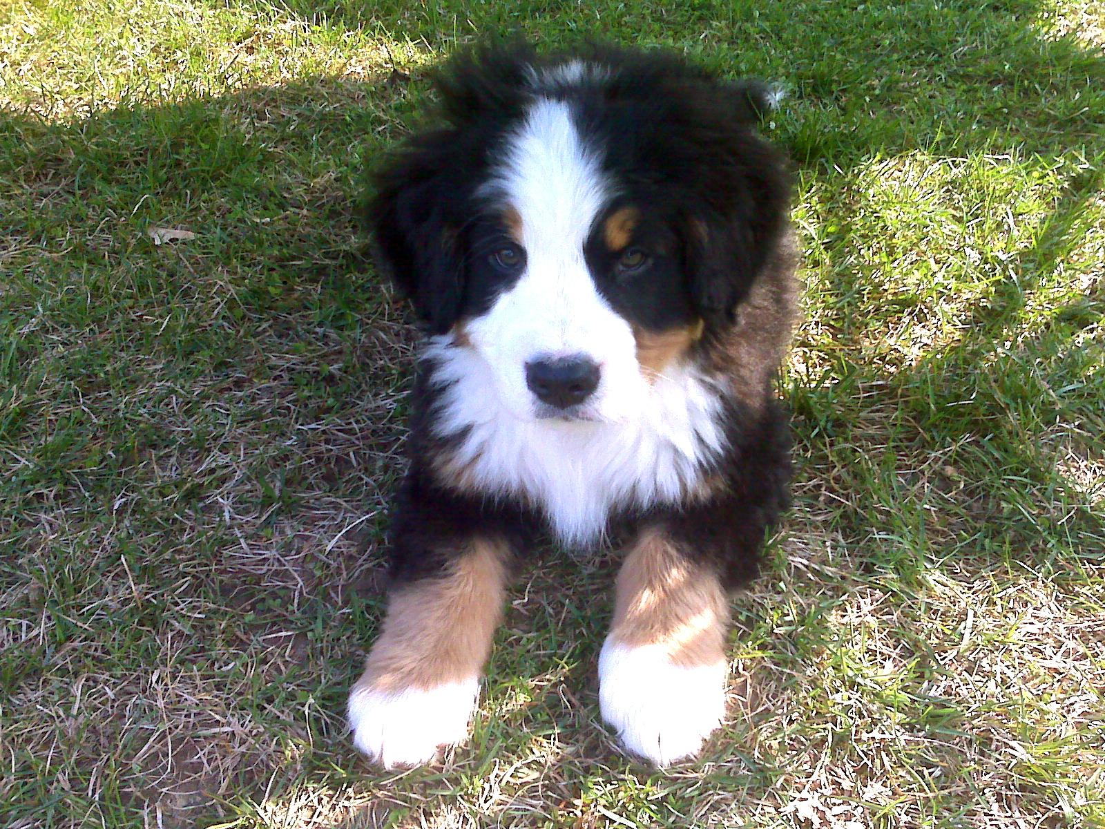 File:Bernese Mountain Dog.jpg