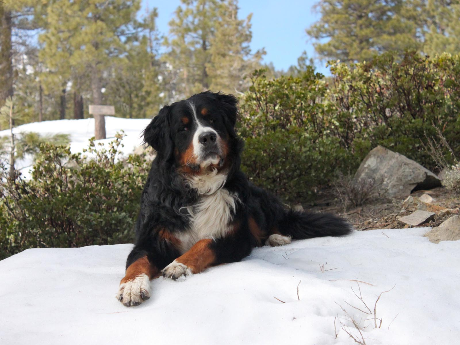 Lovely bernese mountain dog wallpaper