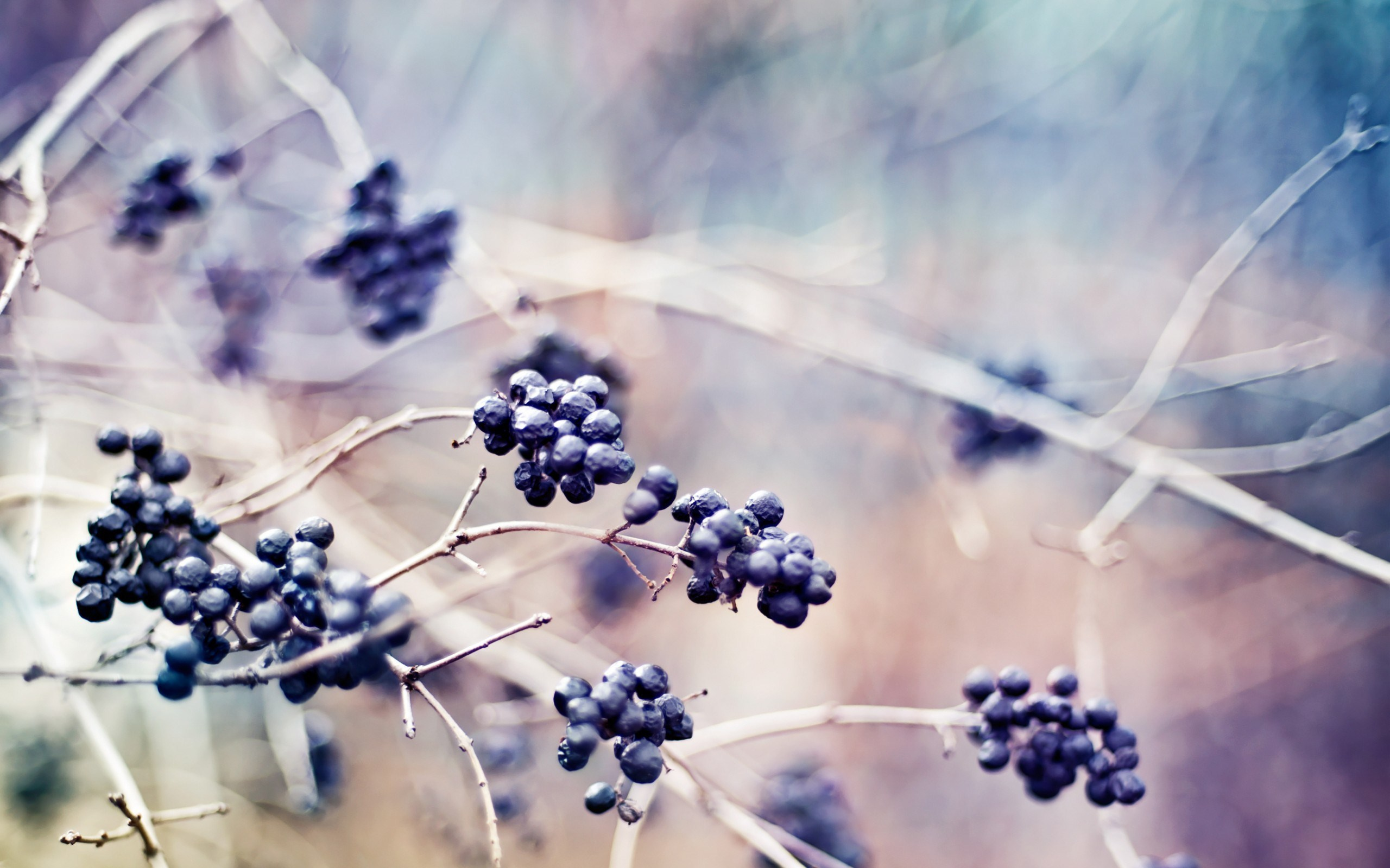 Berries Plants Branches Nature Macro Photo