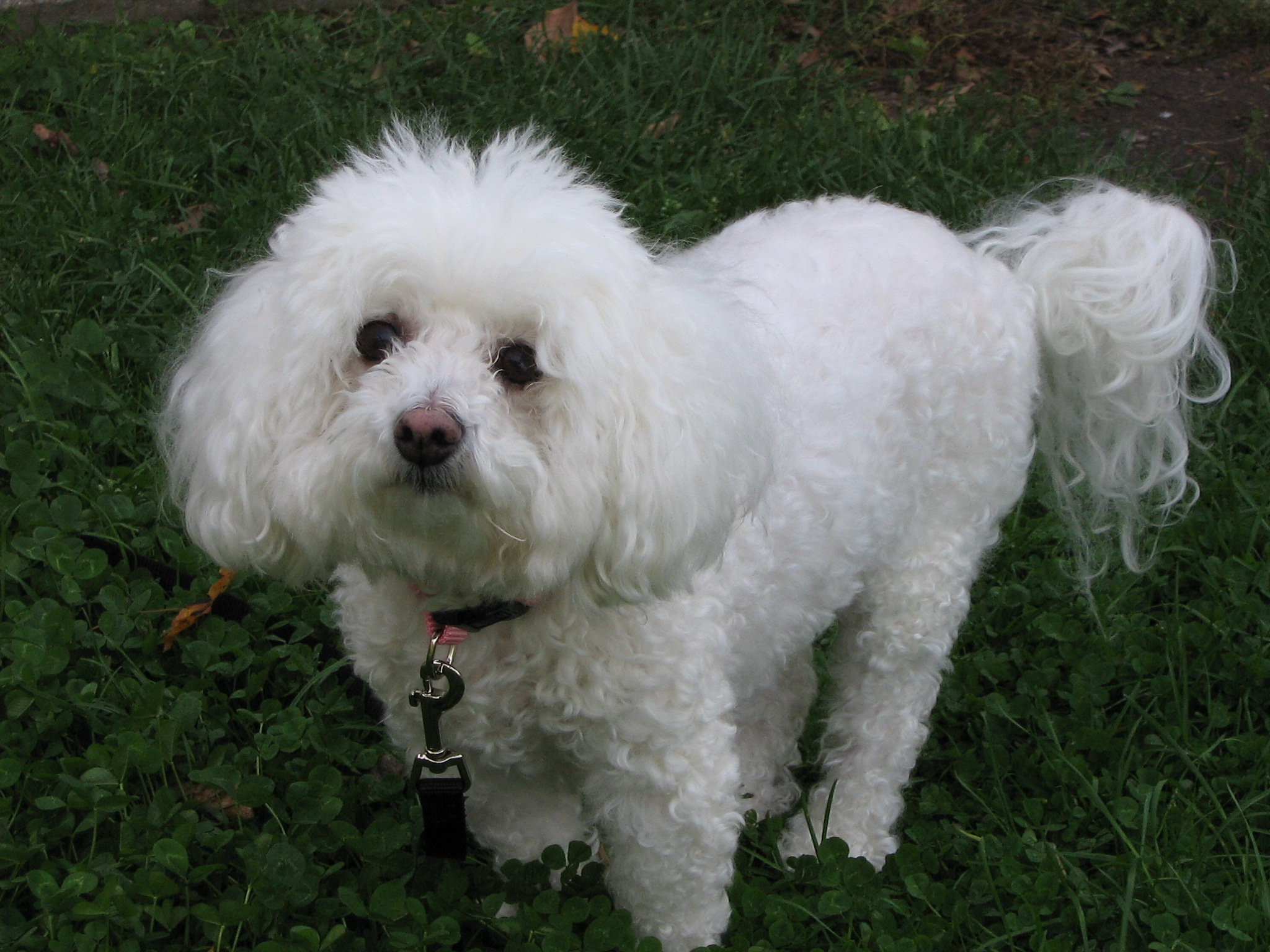 Bichon Frise, Pet Cut