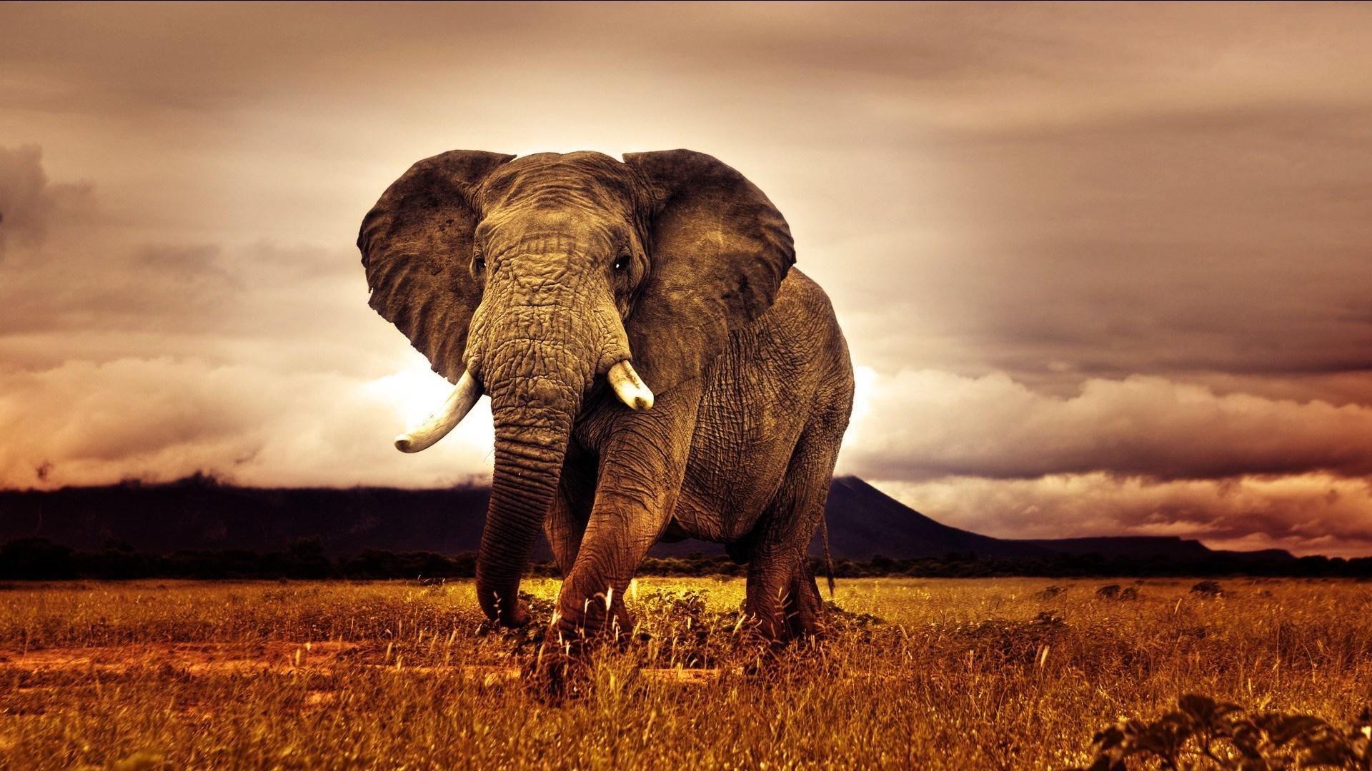 Big Elephant Africa Nature Photo