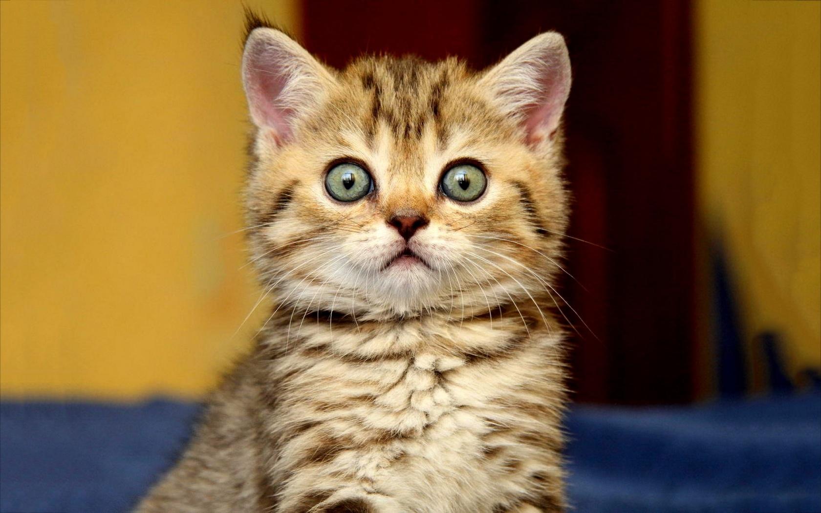 Big kitten eyes Wallpaper in 1680x1050 Widescreen