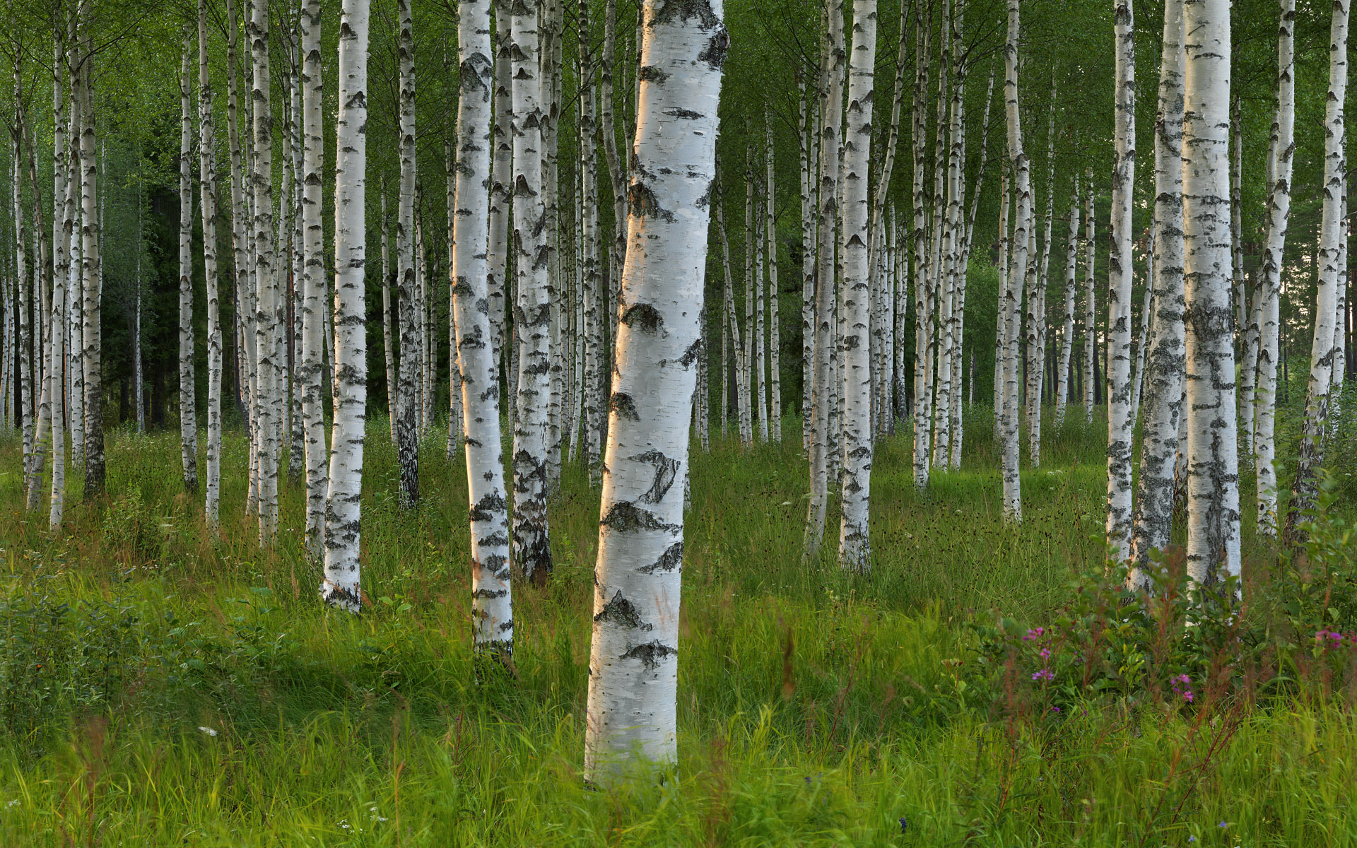 Free Birch Tree Wallpaper