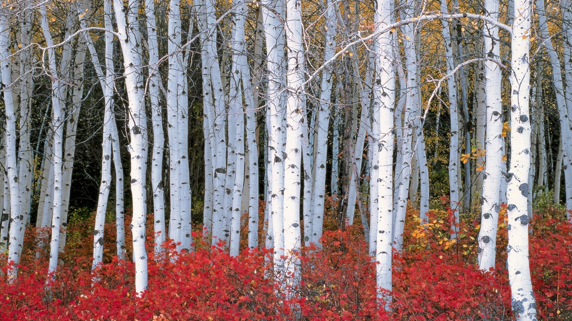 Birch Tree Wallpaper 25327