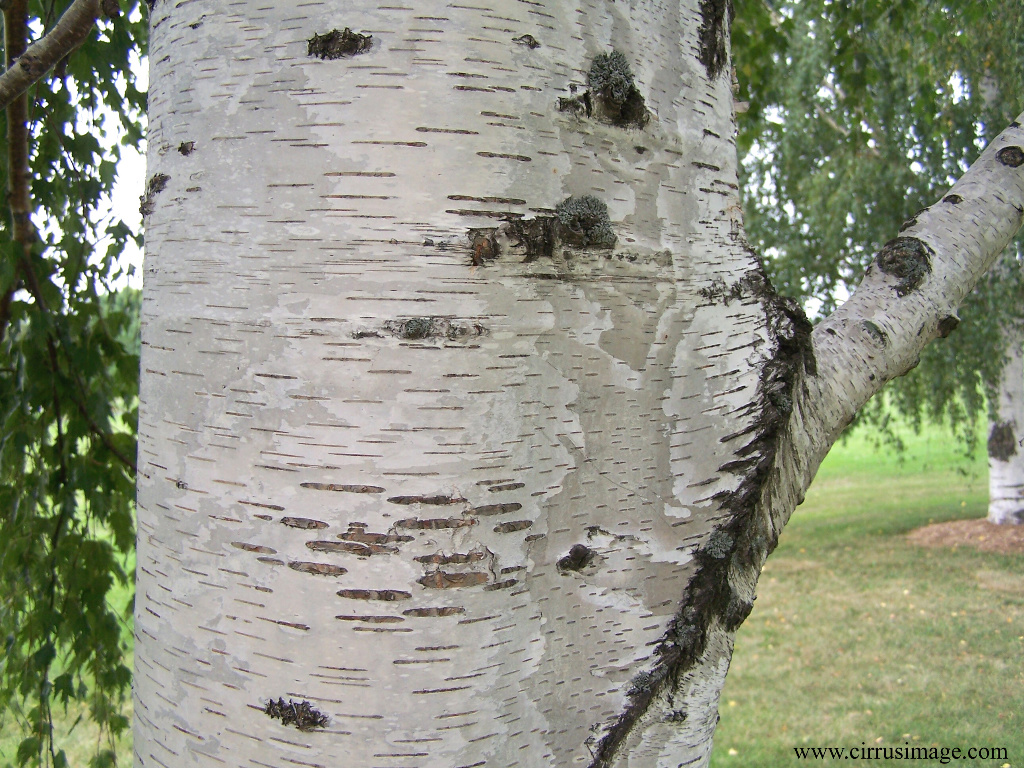 Deciduous tree, 40-50(70+) ft [12-15(21) m], loosely pyramidal to rounded, several years before lateral branches show chalky-white paper-like bark, ...