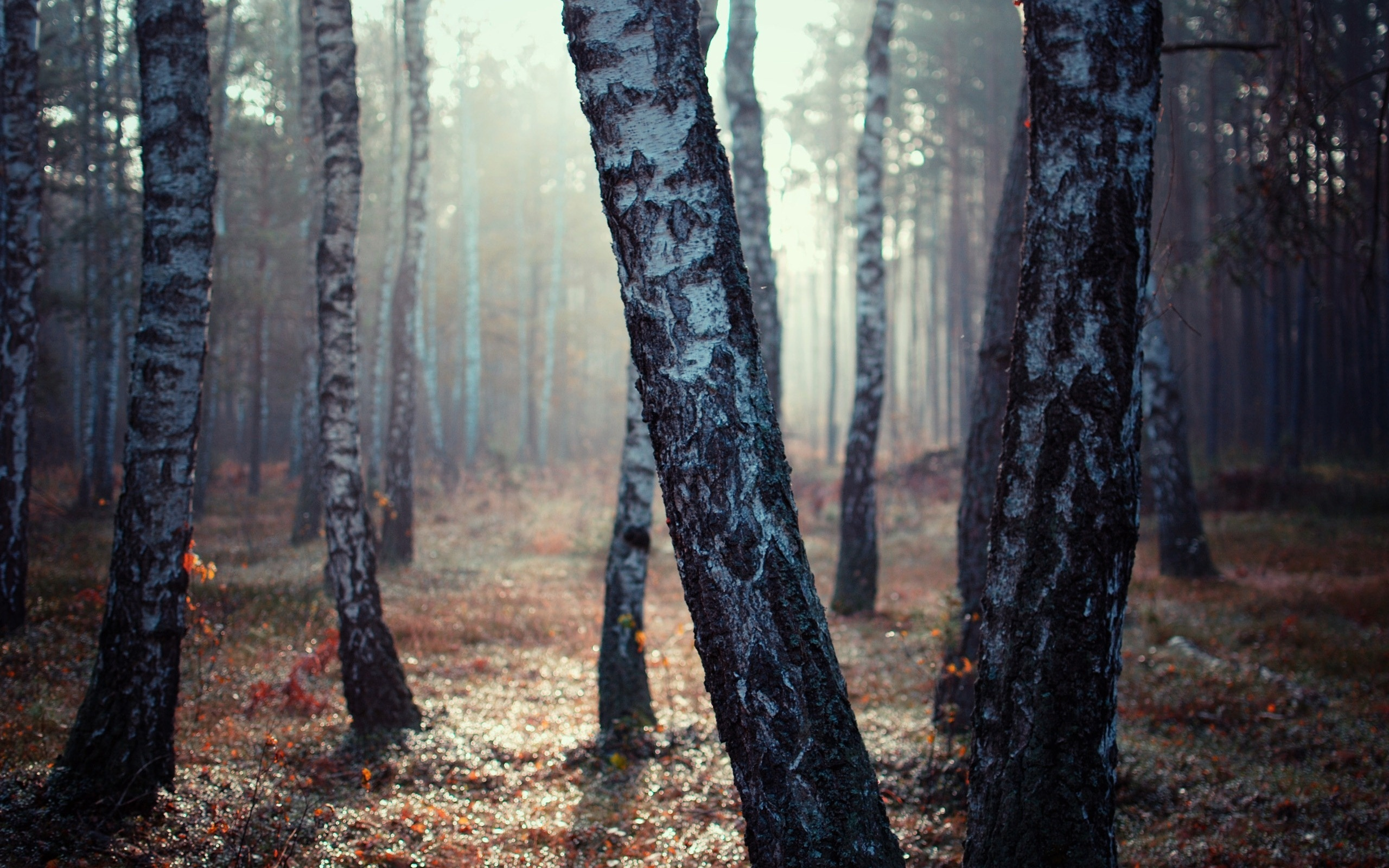 Birch Tree Forest | 2560 x 1600 | Download | Close