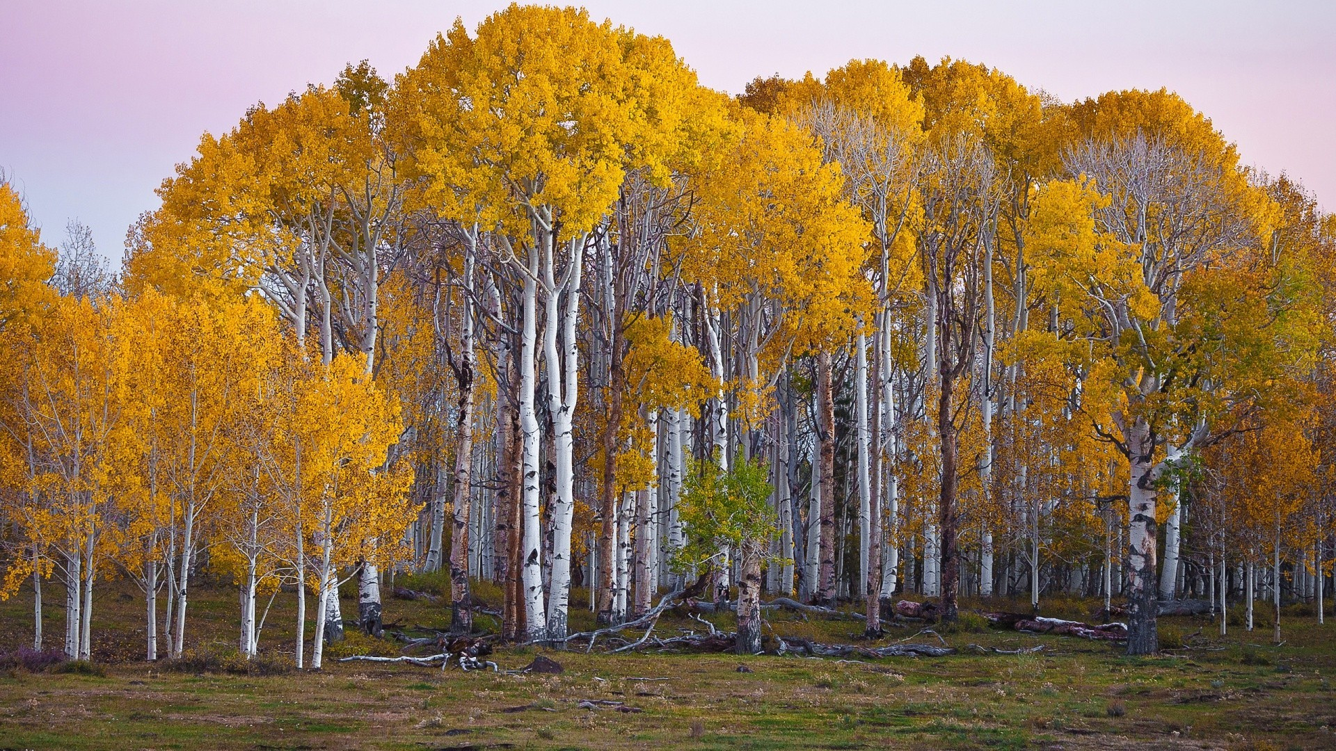Widescreen HD wallpaper with the edge of a forest, with birch trees with white barks and orange yellow leaves in autumn