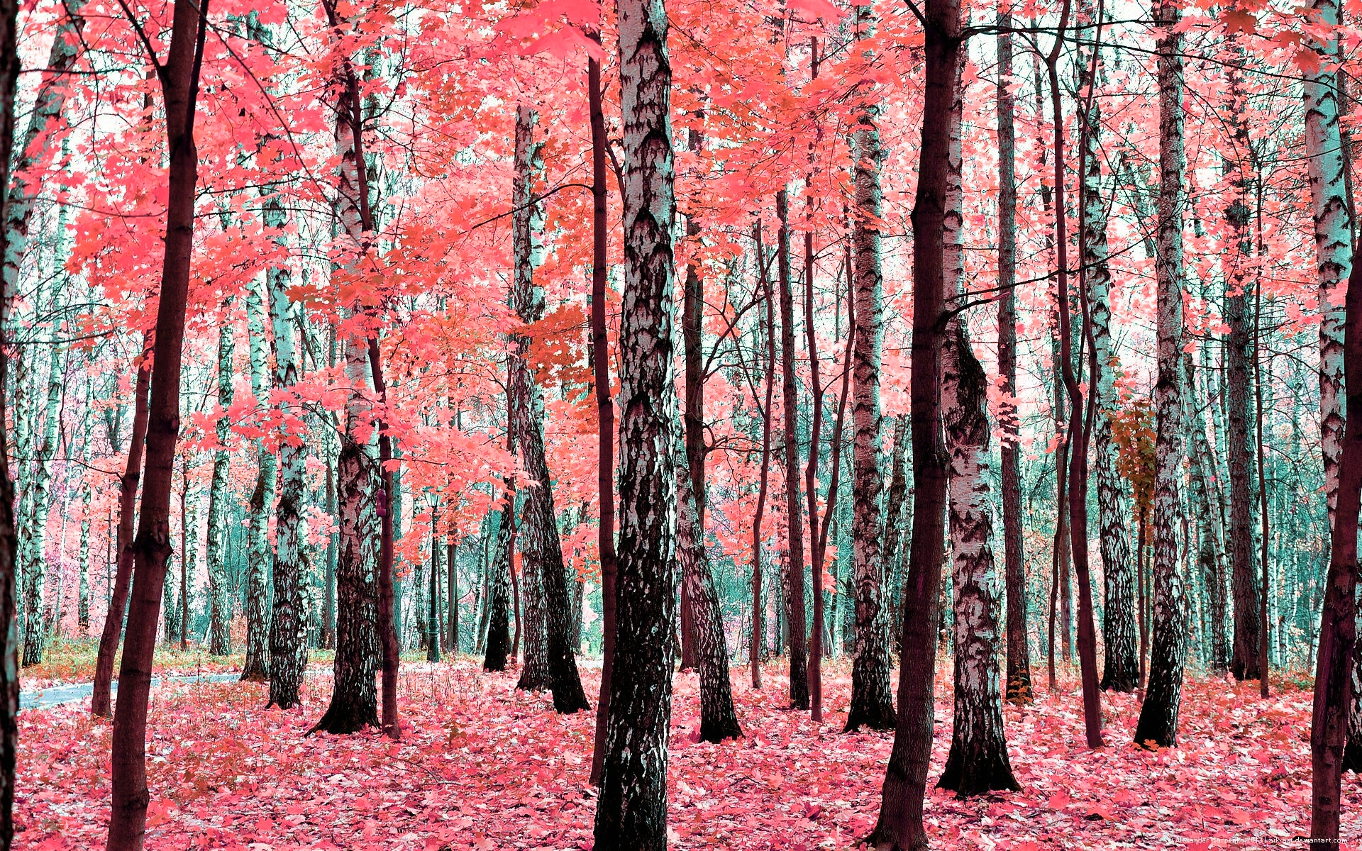 Desktop Wallpaper Birch Tree Forest Kb Jpeg