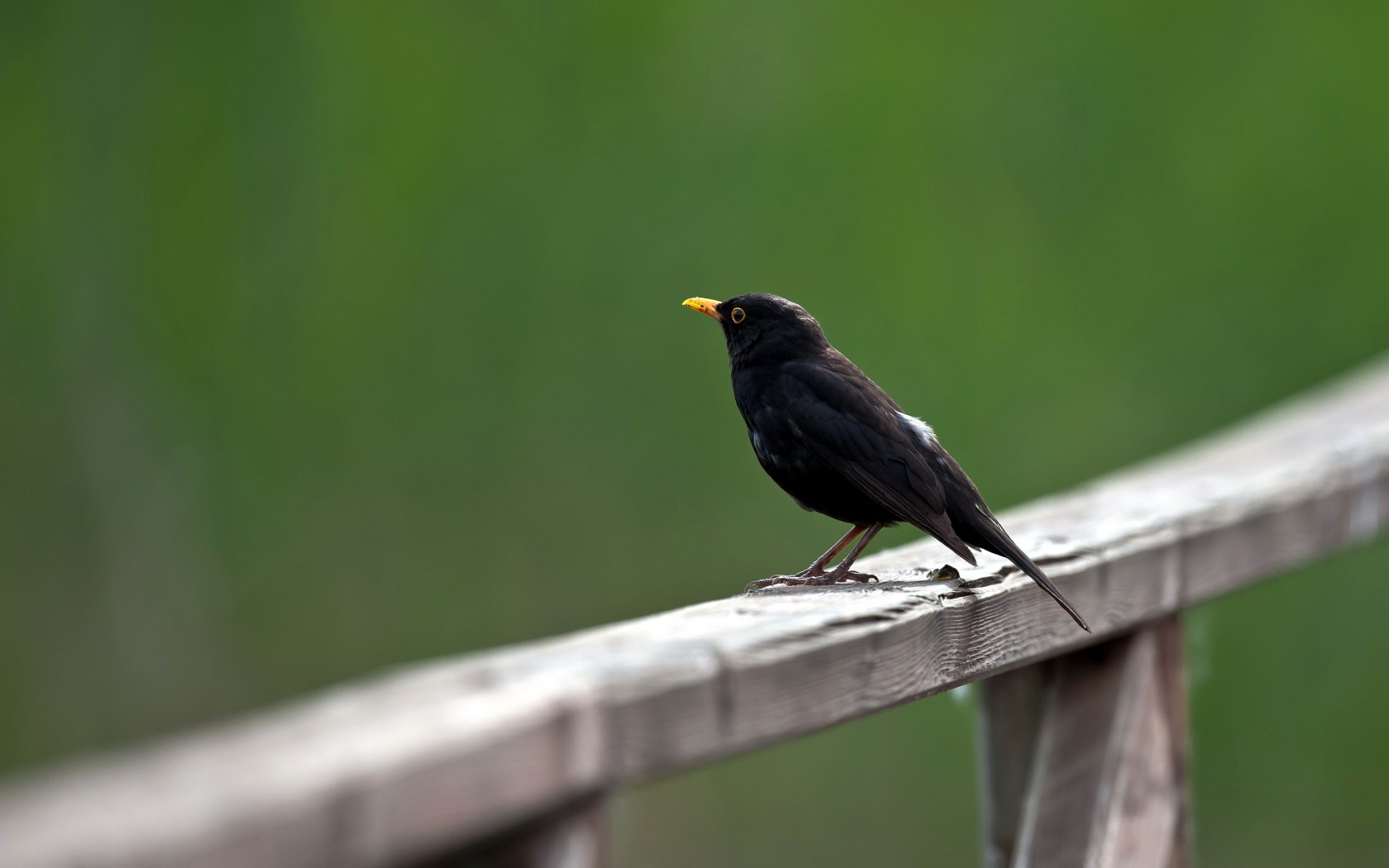 Bird Common Blackbird Turdus Merula
