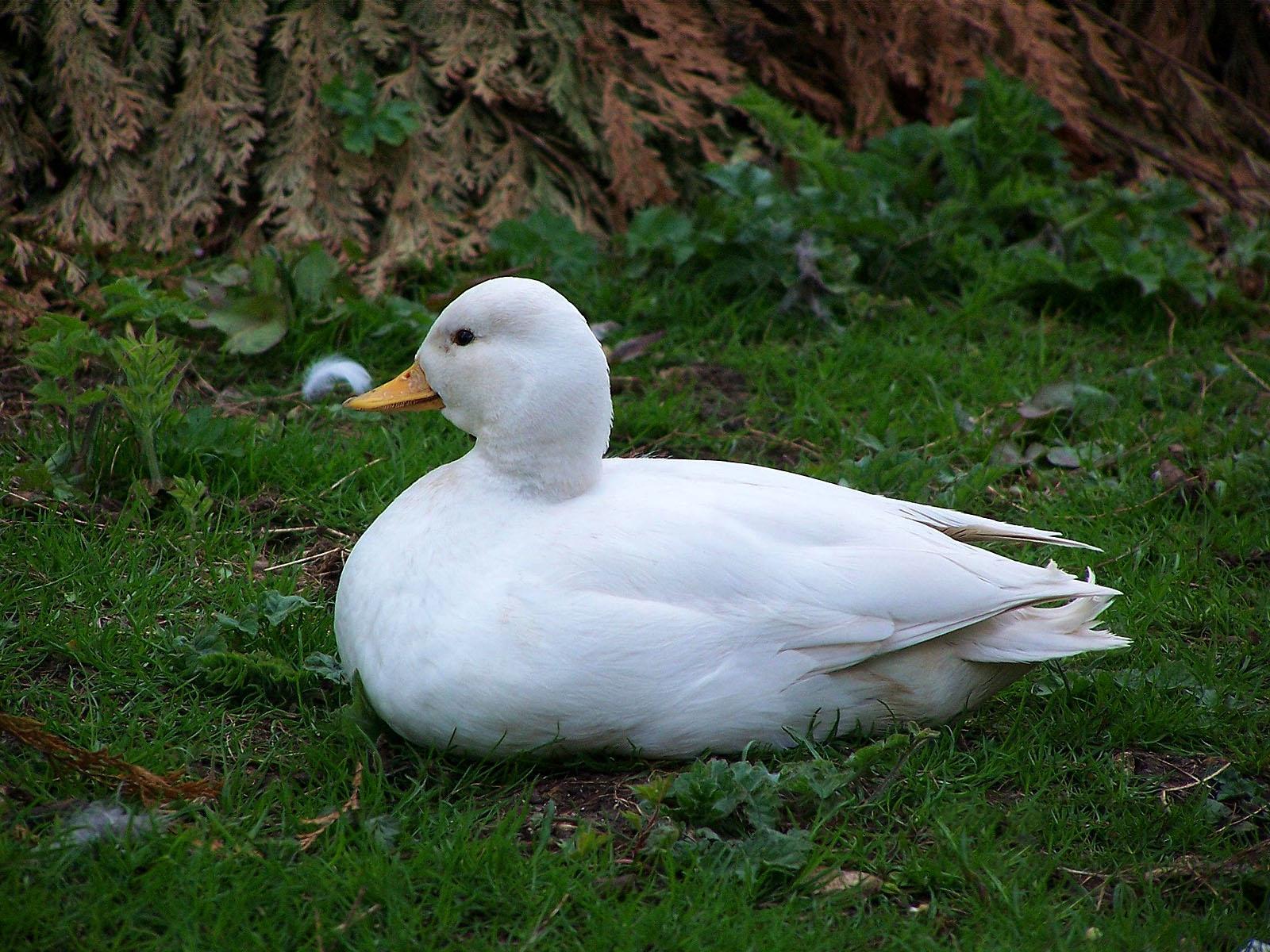 White call duck bird
