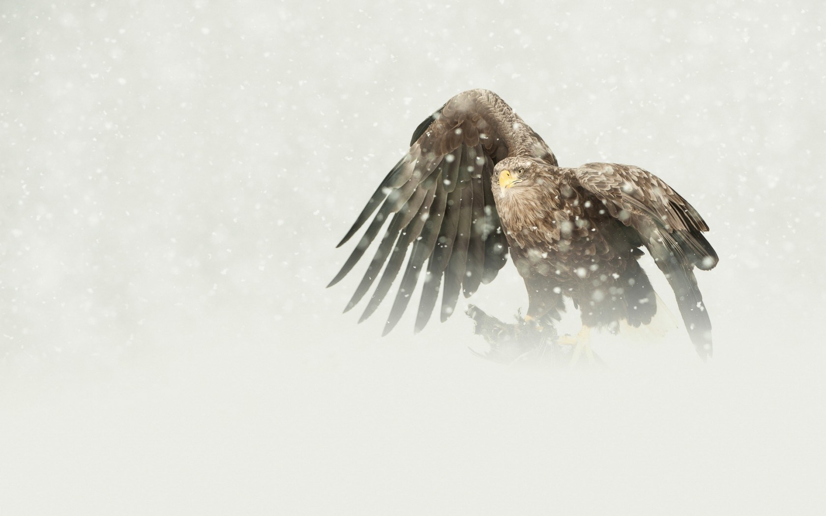 Bird Eagle Snowfall Snowflakes Winter HD Wallpaper