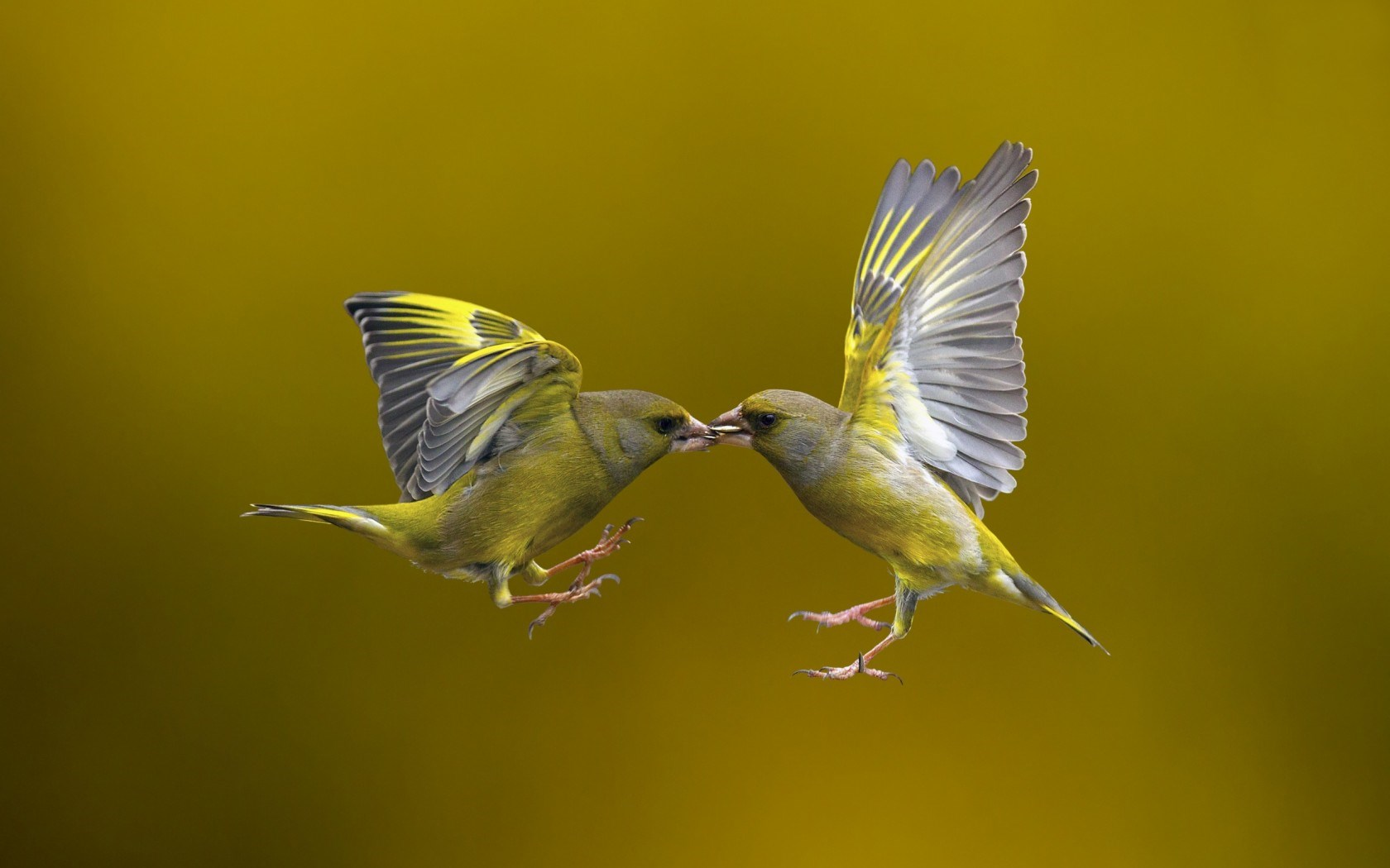 ... birds, yellow background, photo nature, flying, animals, hd