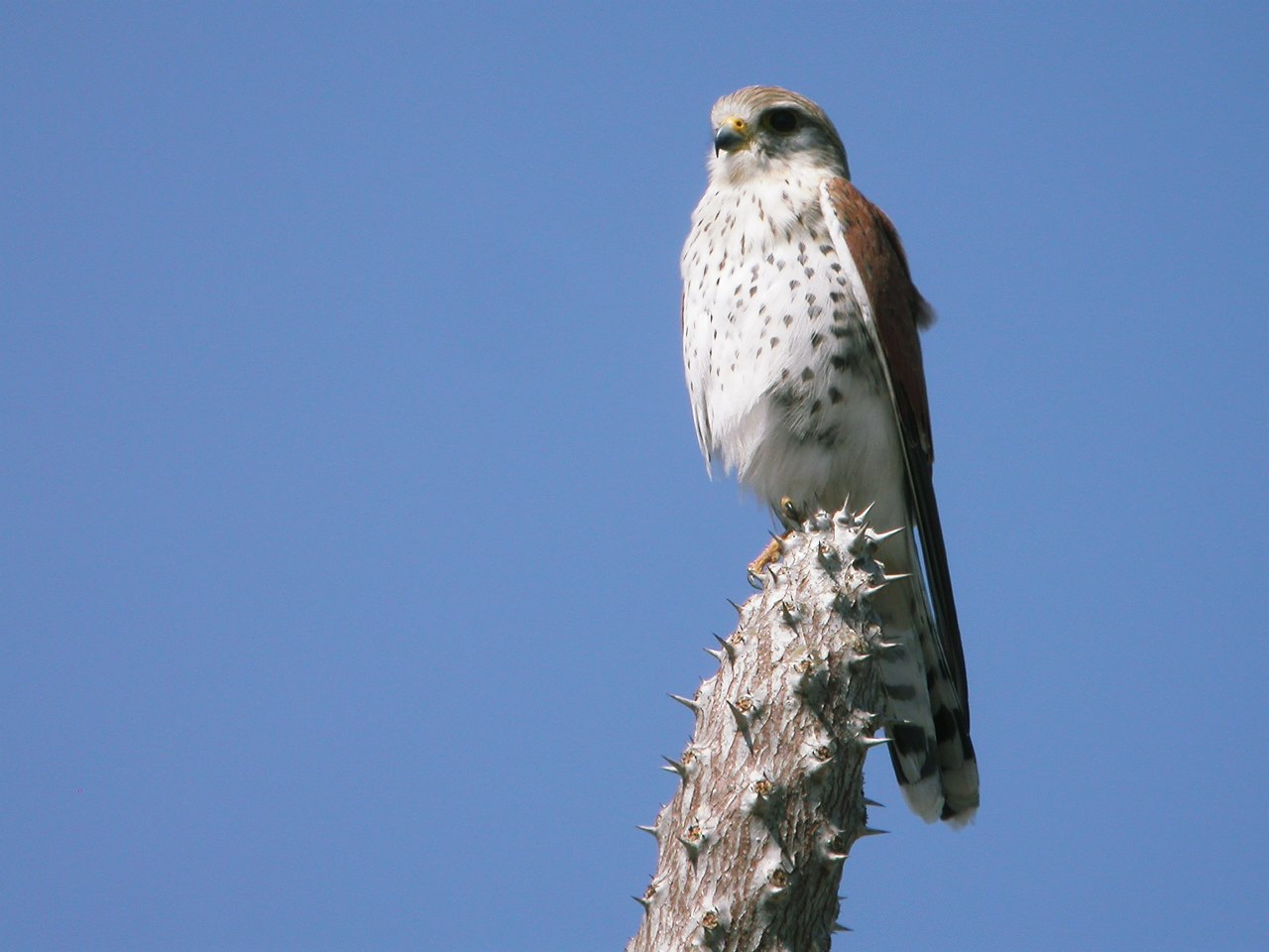 Bird Kestrel Photo