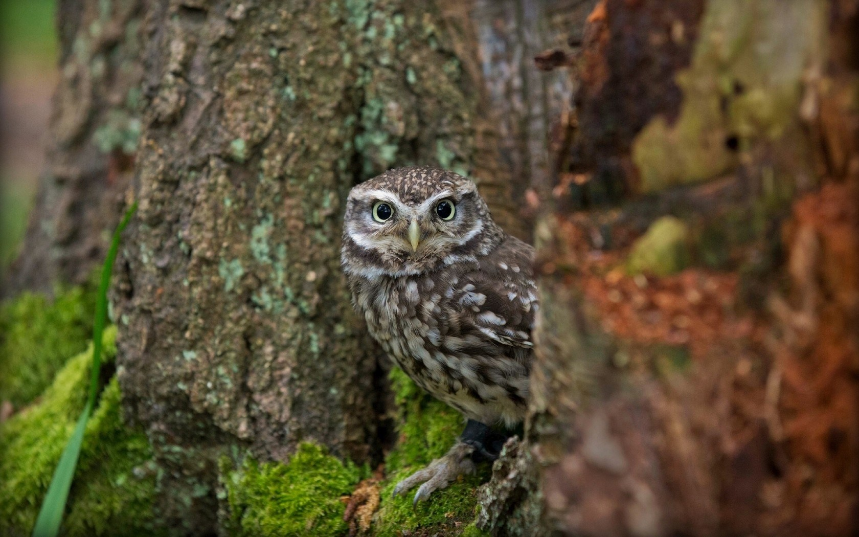 Bird Little Owl