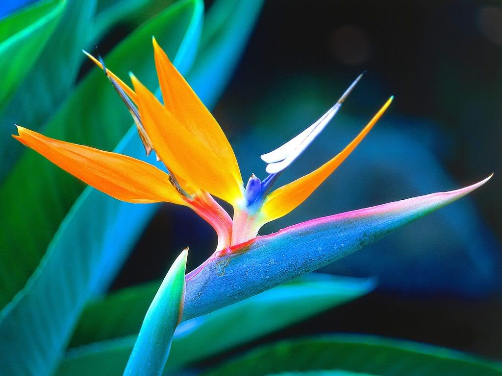 Bird of Paradise Flower Pictures