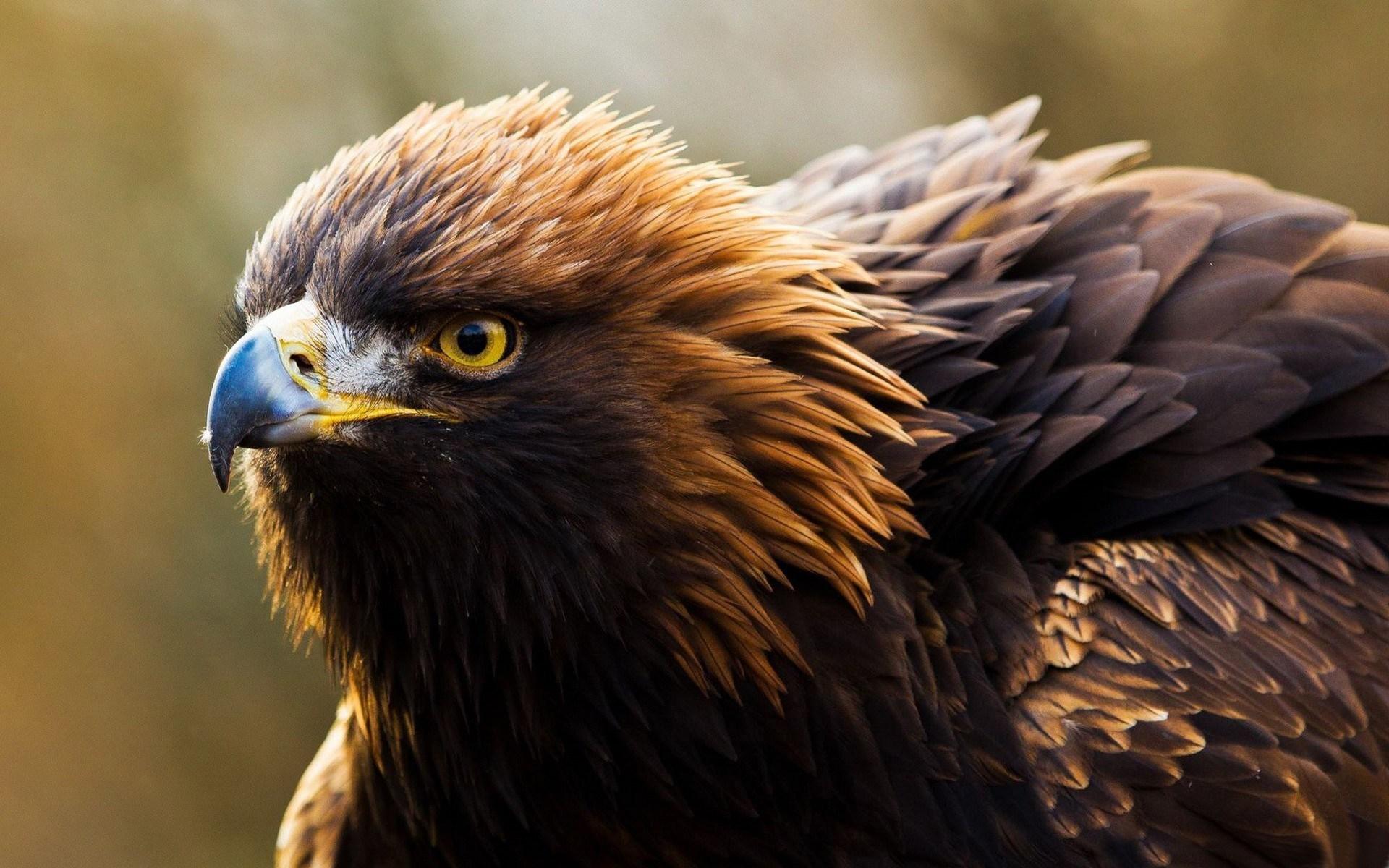 Bird of Prey Golden Eagle Photo