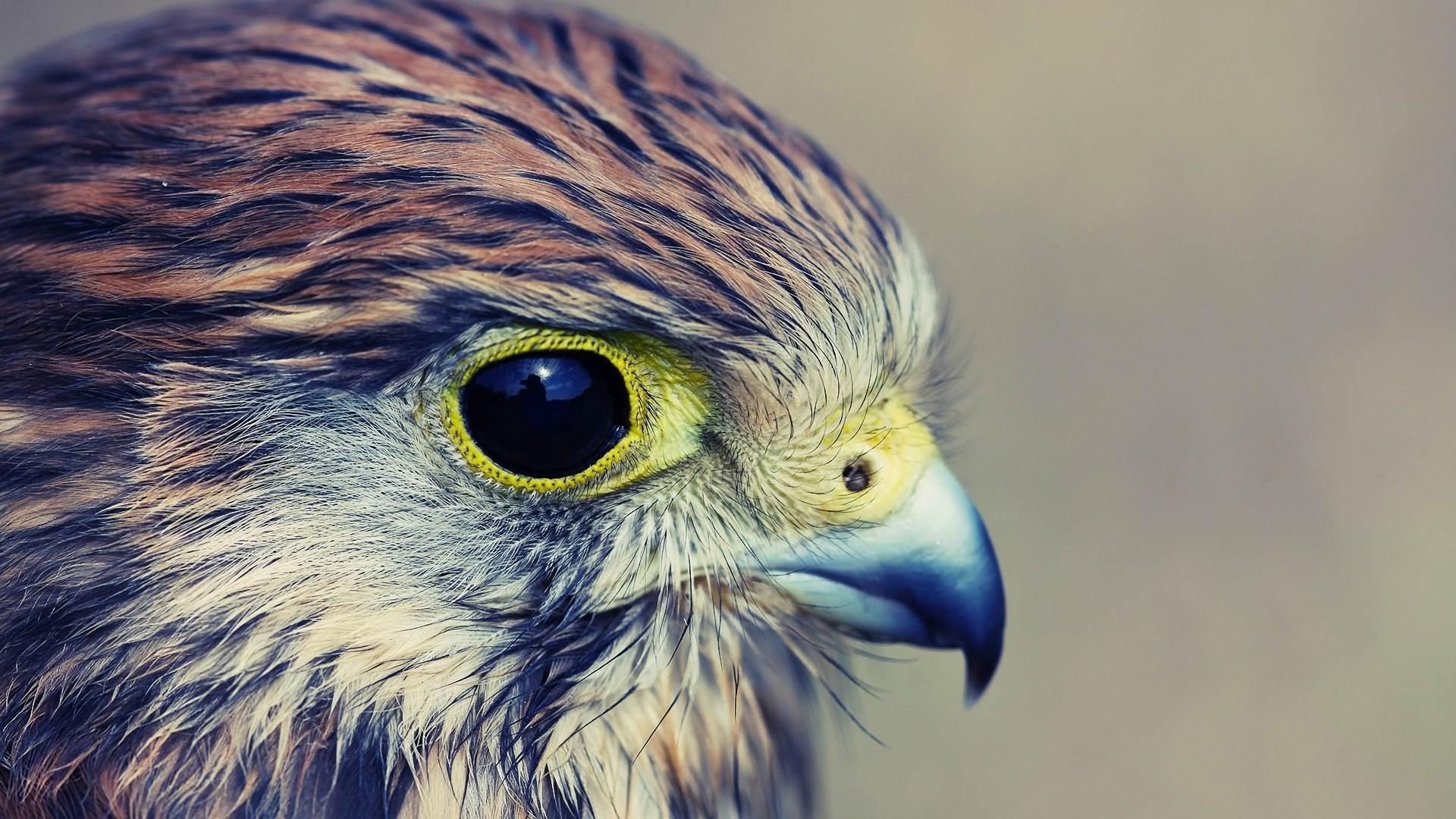 Bird of Prey Hawk Close-Up