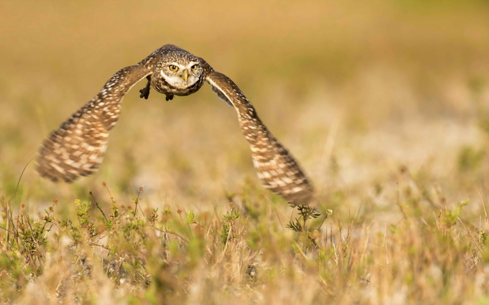 Bird Owl Flying Nature