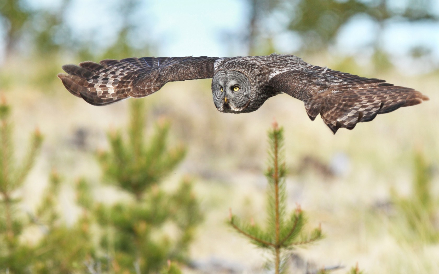 Bird Owl Flying Trees