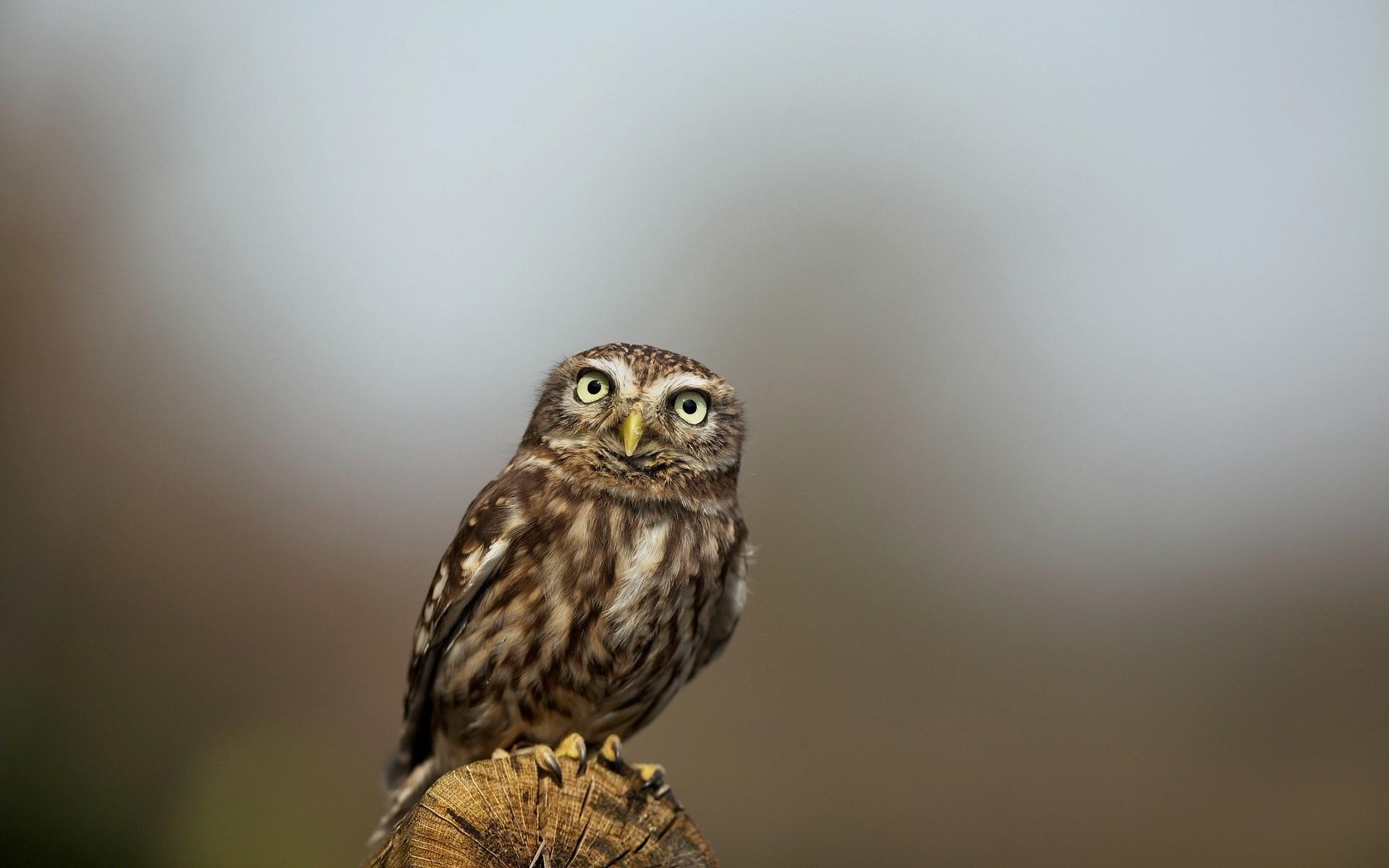 Bird Owl Nature Look