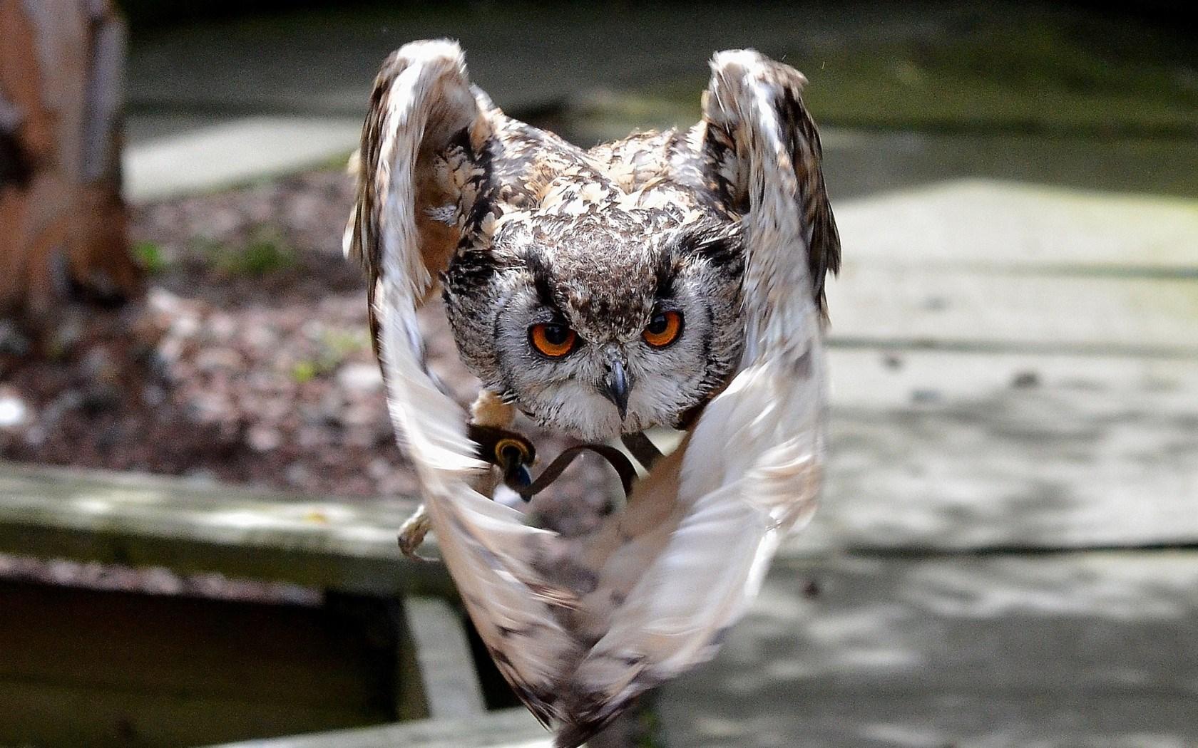 Bird Owl Wings Close-Up