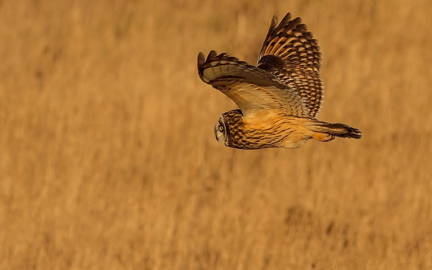 Bird Owl Wings Field