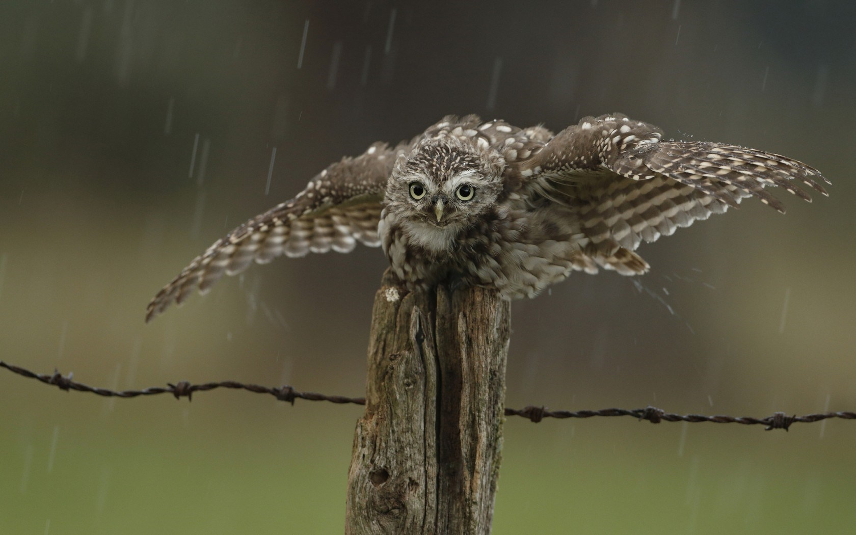 Bird Owl Wings Rain