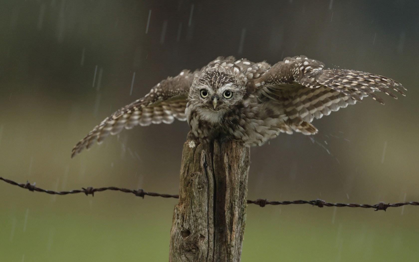 Bird Owl Wings Rain