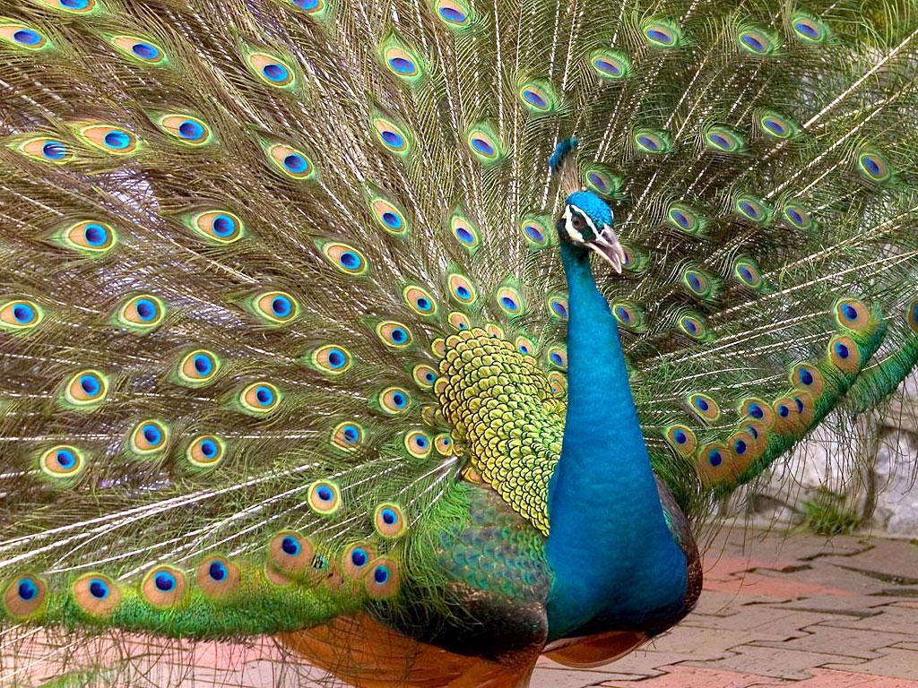 beautiful peacock wallpaper blue peacock bird colorful peacock bird