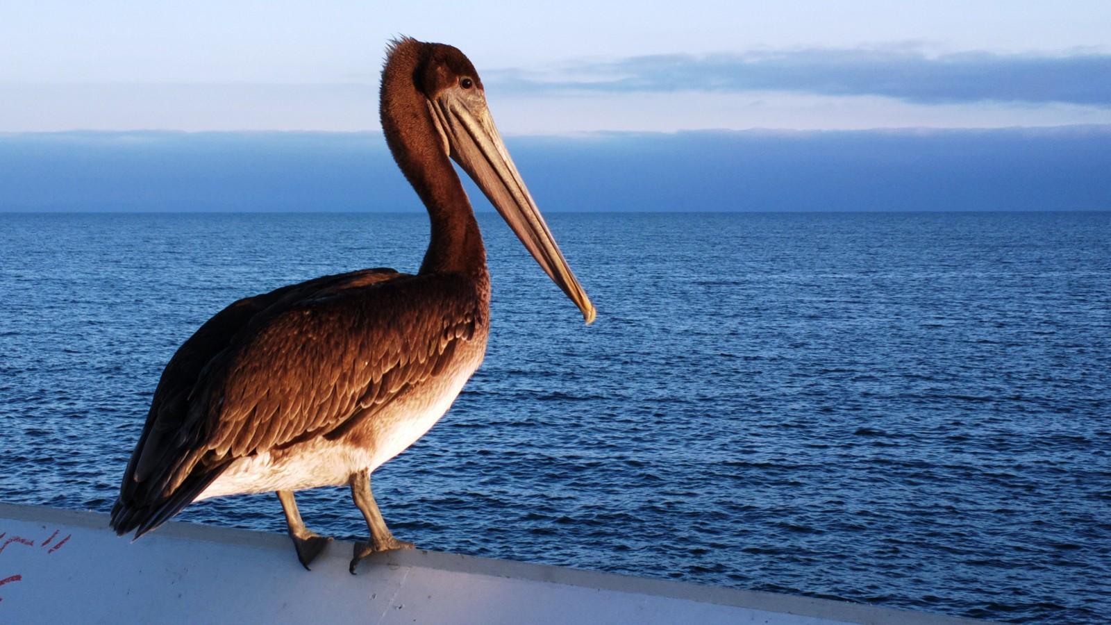 Bird Pelican