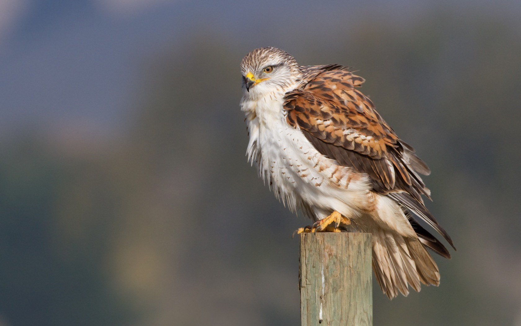 Bird Predator The Hawk