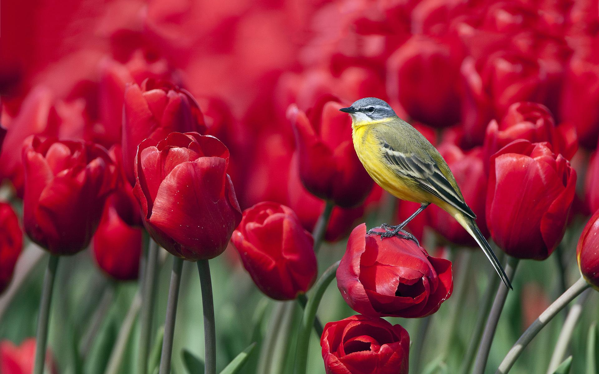 Bird red tulips