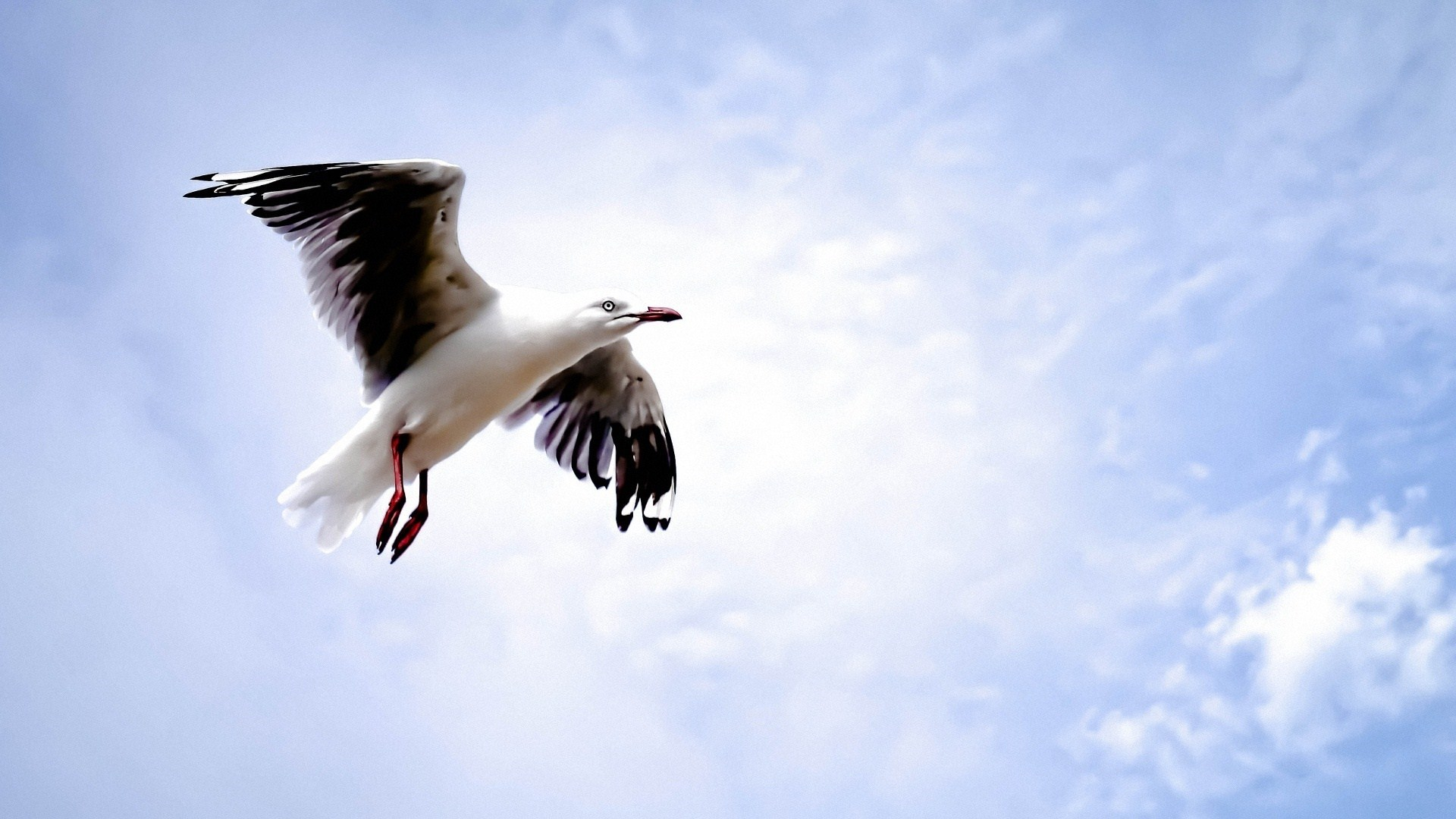Bird Seagull Flying Sky Close-Up Photo