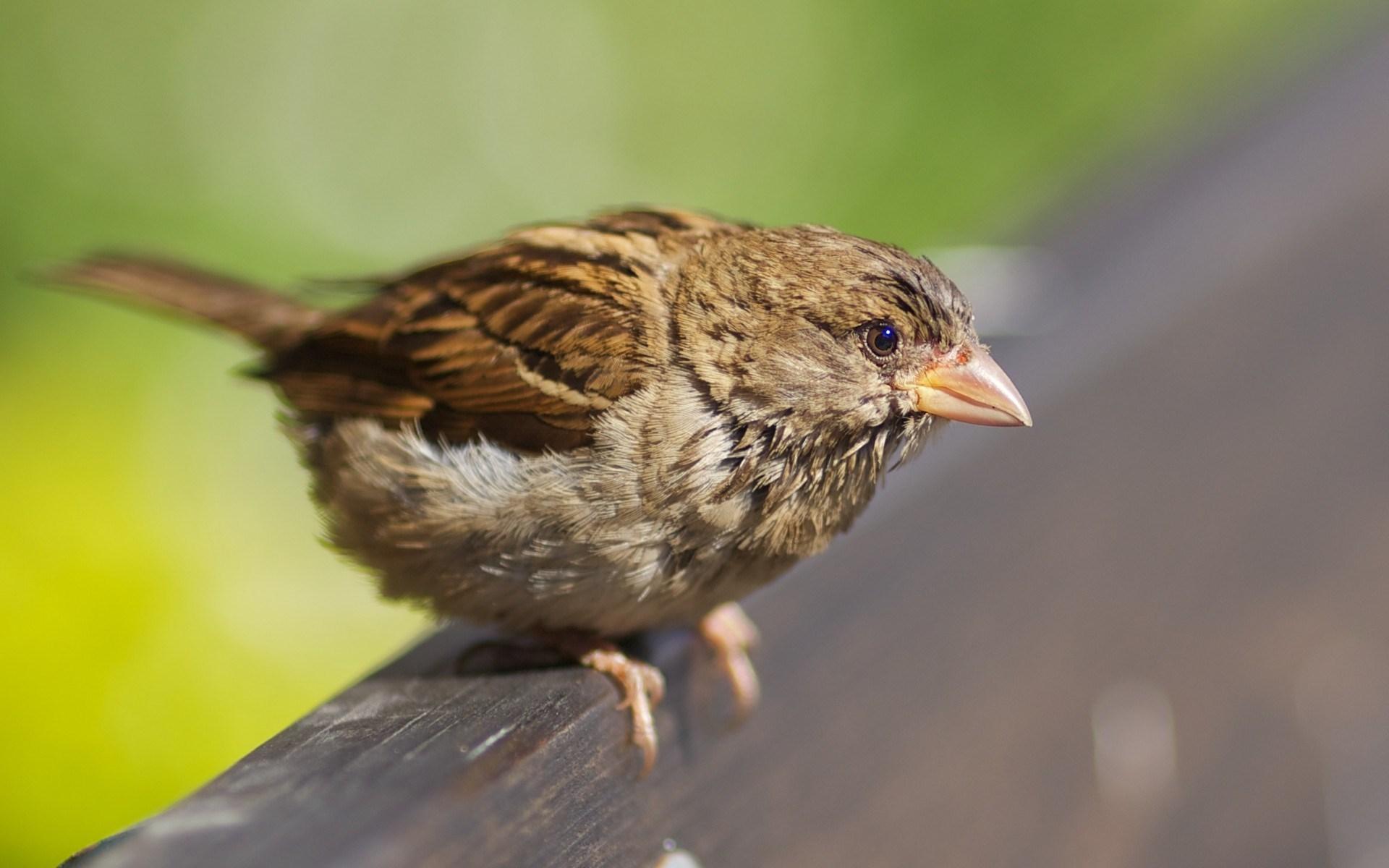 Bird Sparrow Beak