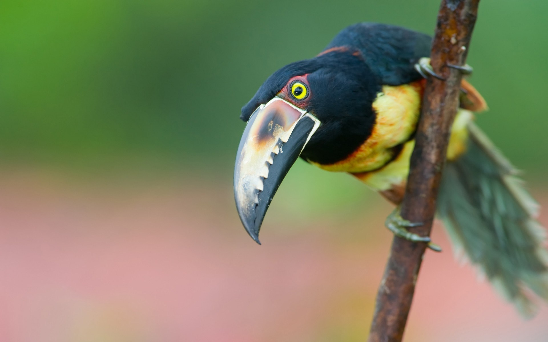 Beauty Bird Toucan Collared Aracari Photo