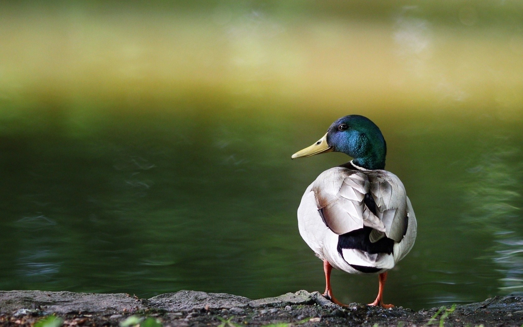 Bird Wild Duck