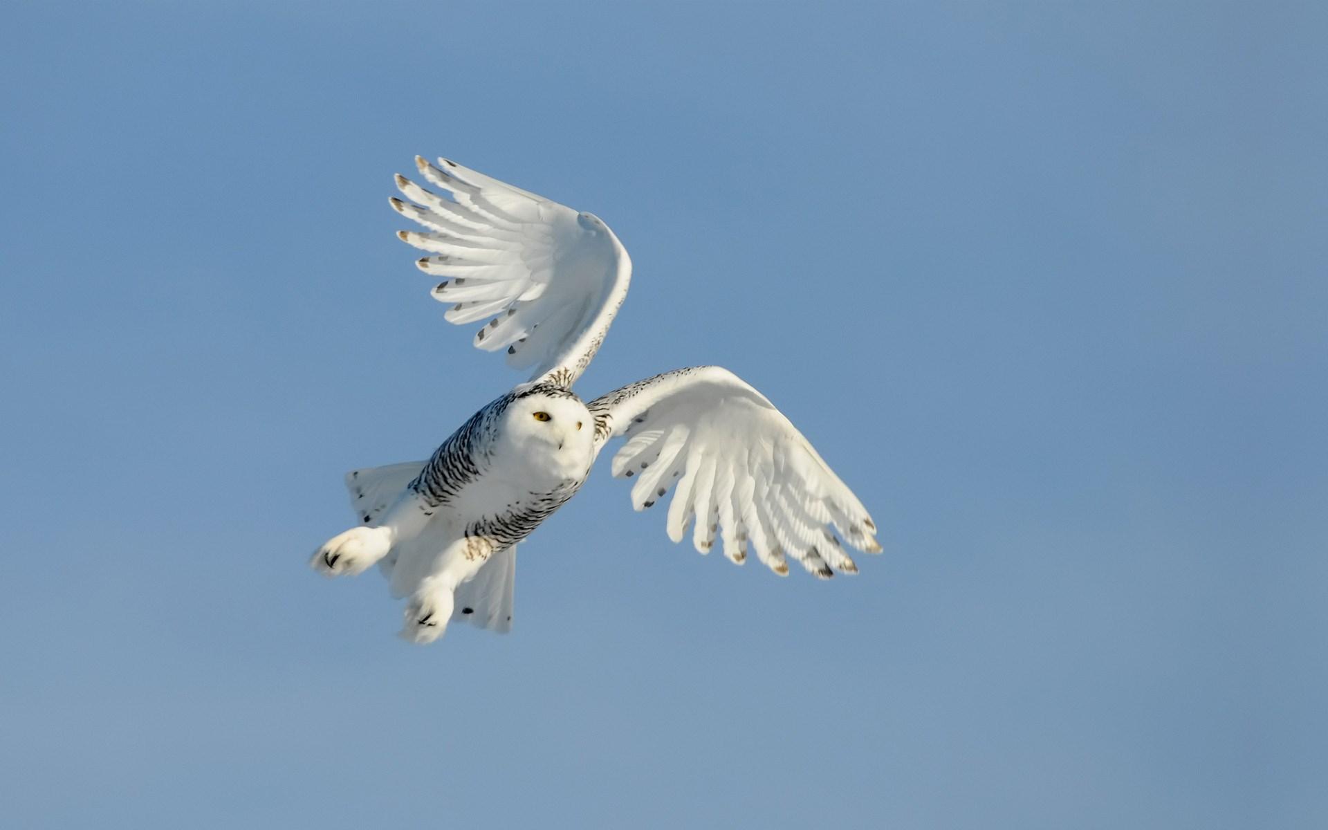 Bird Owl Flying Sky Wings