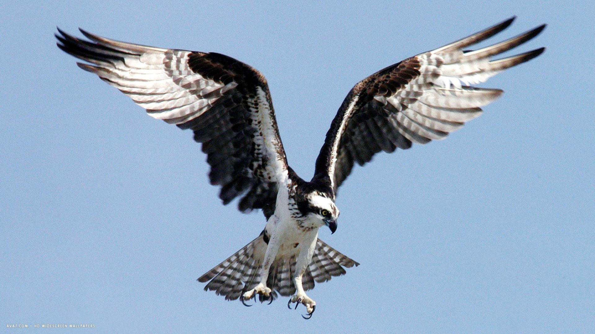 osprey sea hawk bird flying big wings claws hd widescreen wallpaper