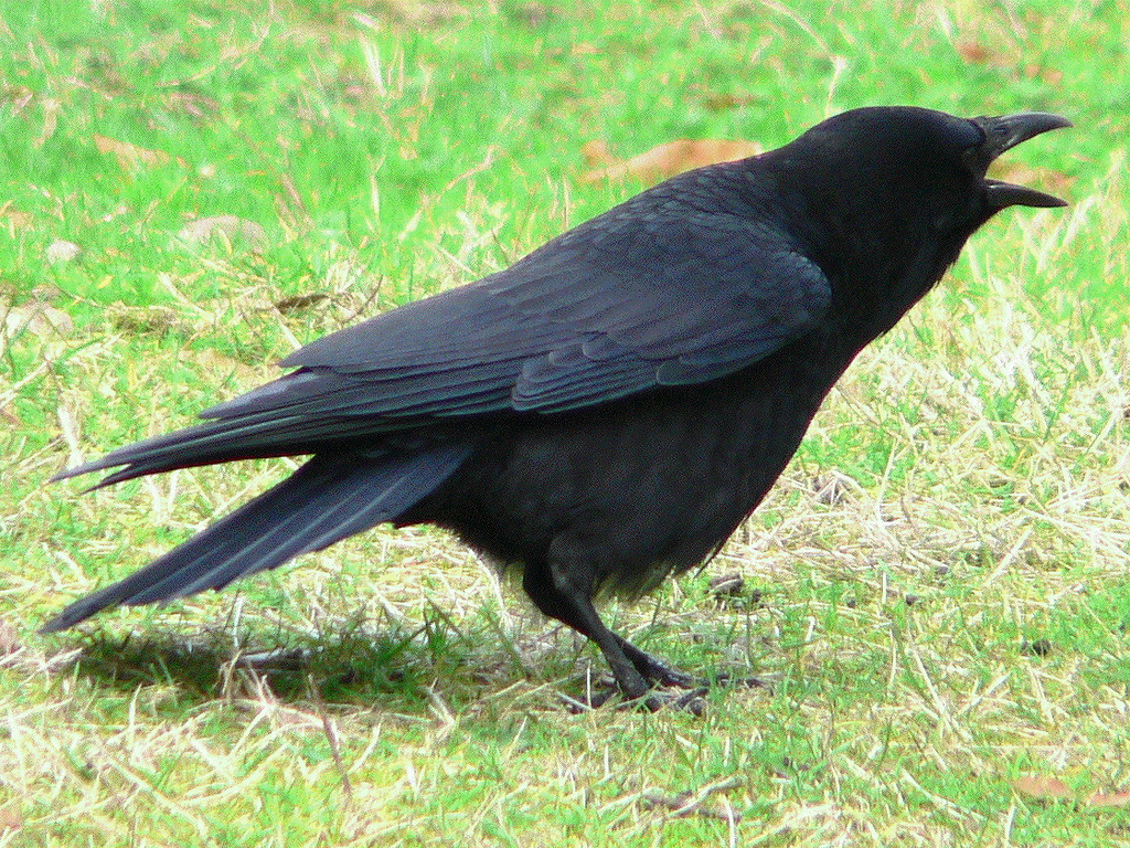 An American or northwestern crow (either Corvus brachyrhynchos or C. caurinus) near the end of Ravenna Creek slough adjacent to the Burke-Gilman Trail on ...