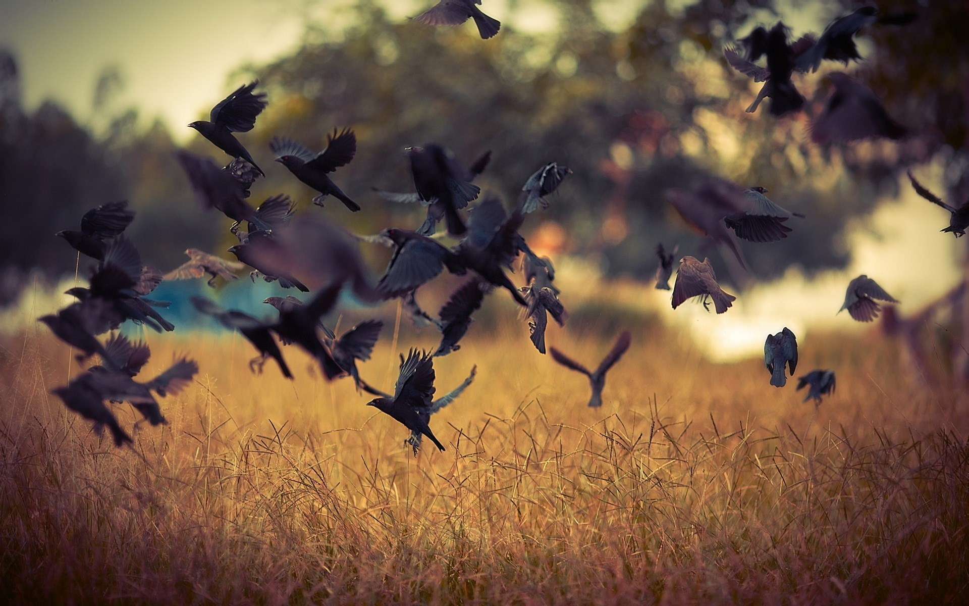 Birds Crows Field Nature