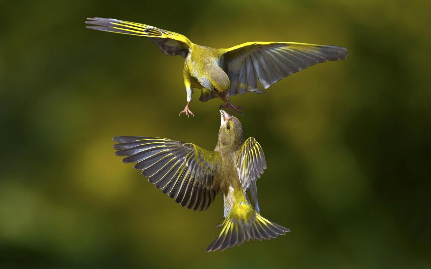 Birds Flight Fight