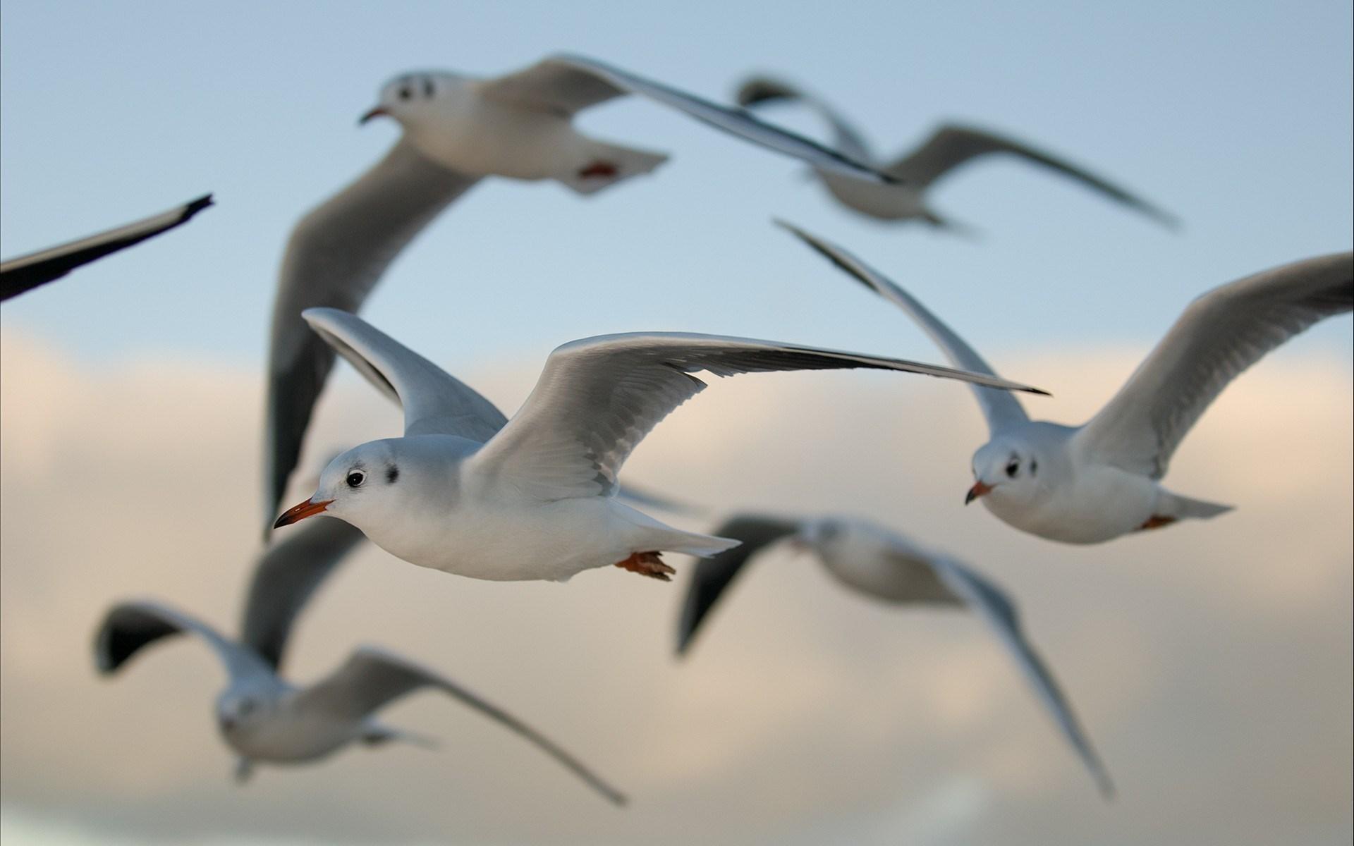 Birds Gulls Flying